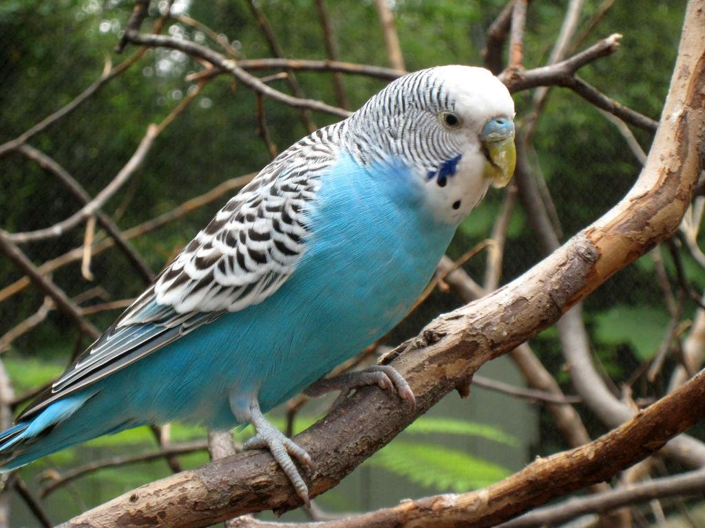 Free download Budgerigar background ID:32569 hd 1024x768 for desktop