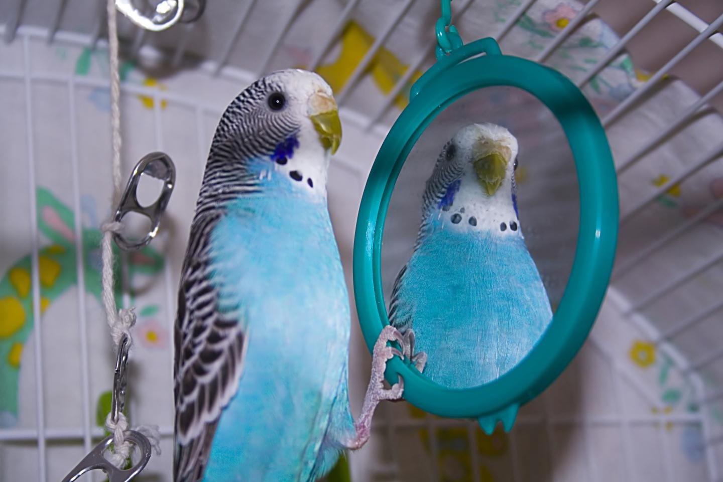 Awesome Budgerigar free background ID:32570 for hd 1440x960 PC
