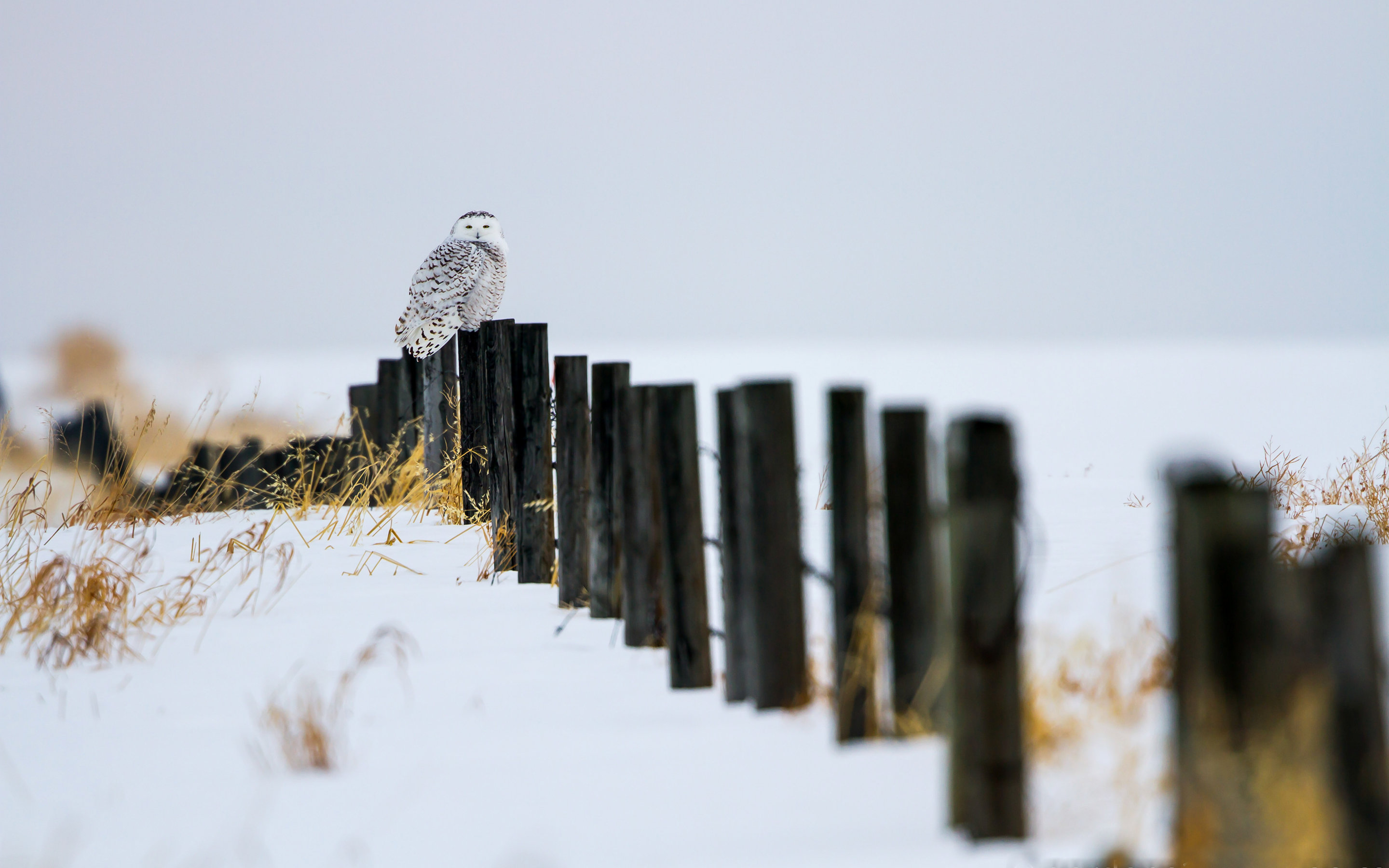 Free download Snowy Owl wallpaper ID:26789 hd 2880x1800 for PC