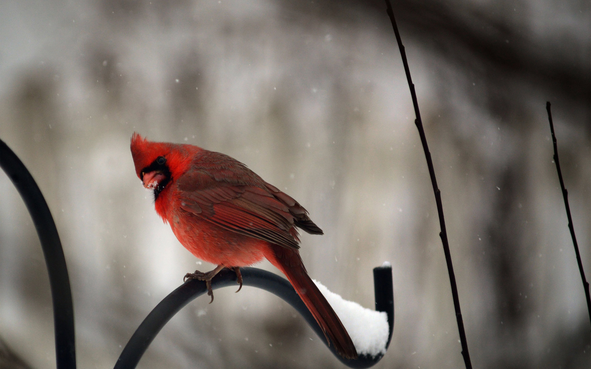 Best Cardinal wallpaper ID:24658 for High Resolution hd 1920x1200 PC