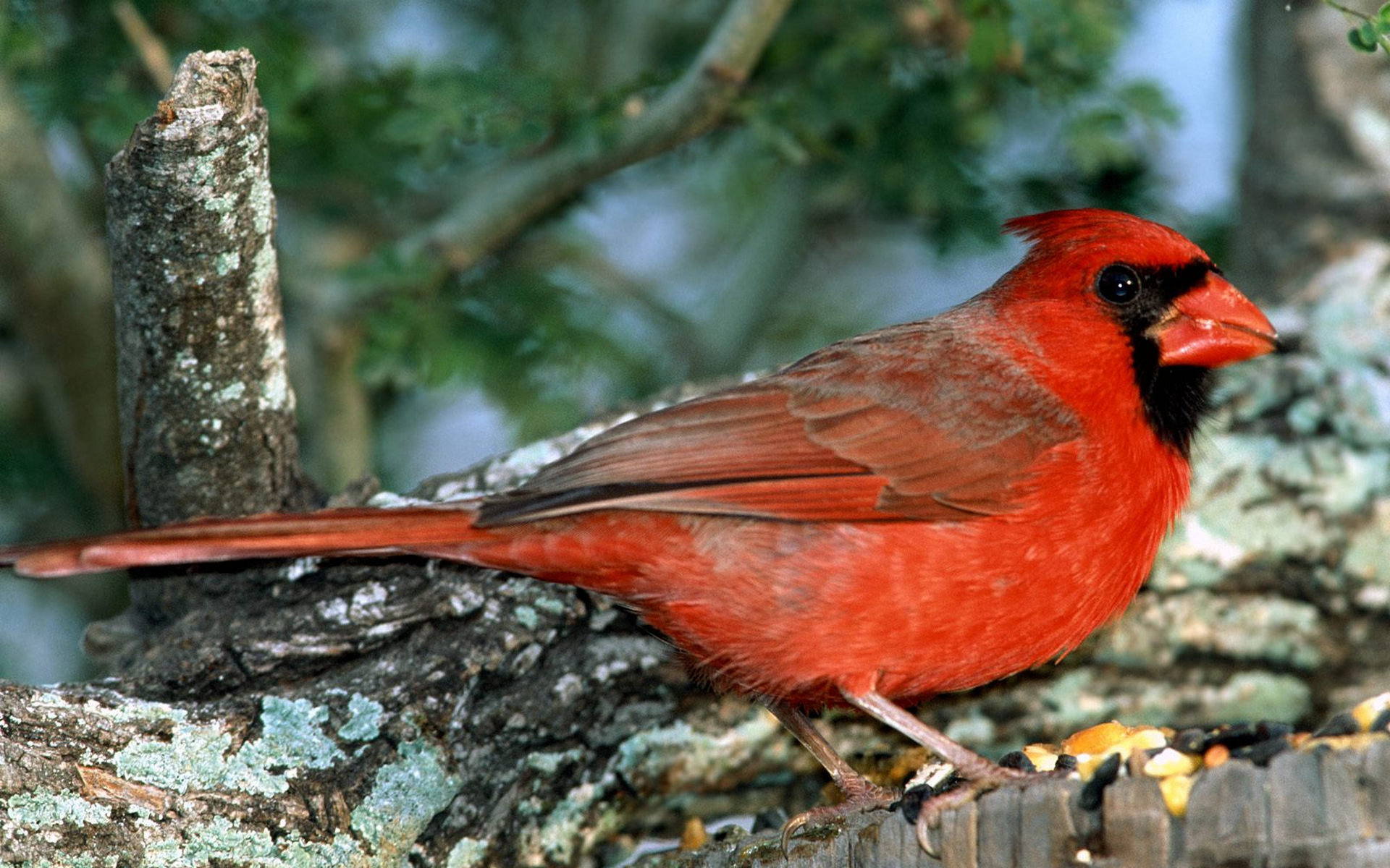 Awesome Cardinal free wallpaper ID:24668 for hd 1920x1200 PC