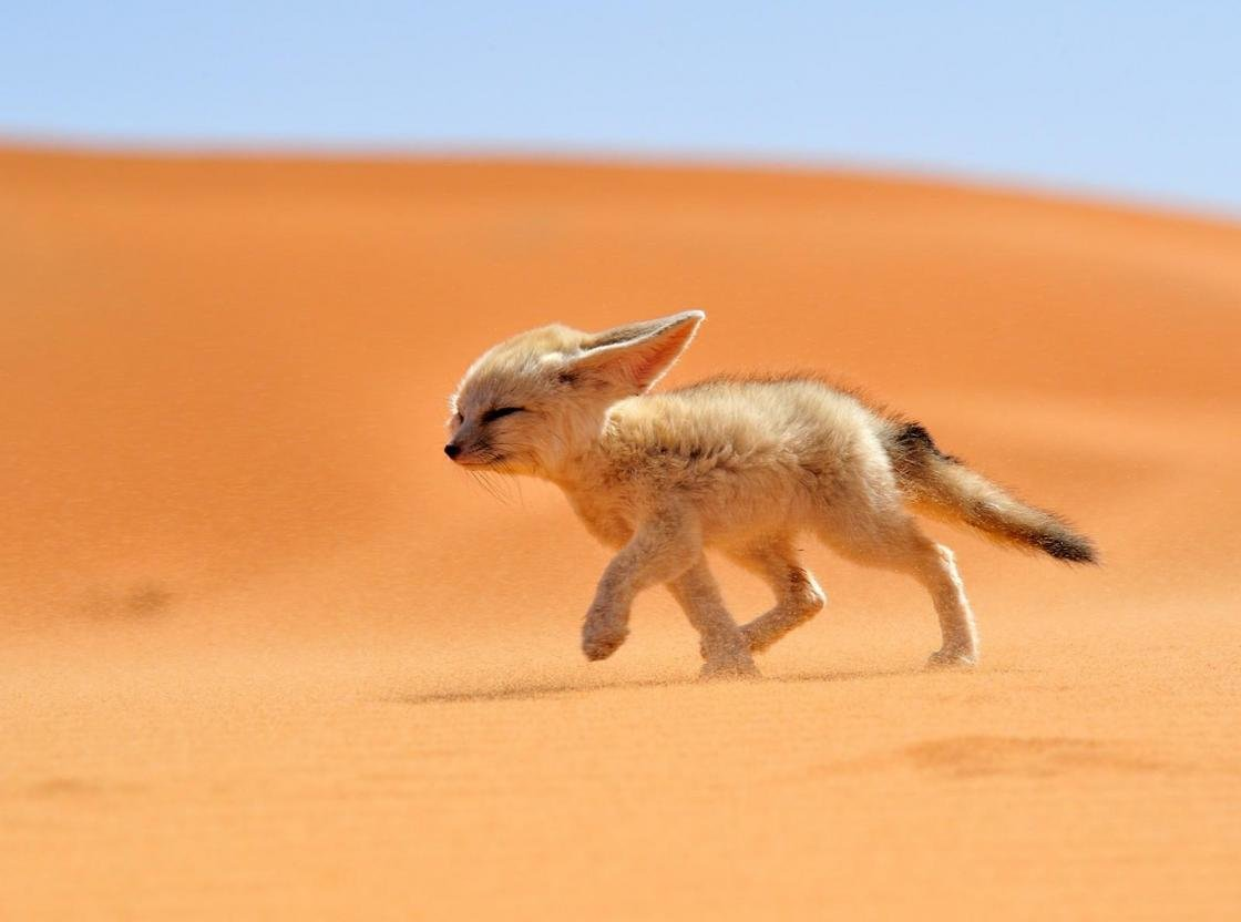 Awesome Fennec Fox free wallpaper ID:137655 for hd 1120x832 PC
