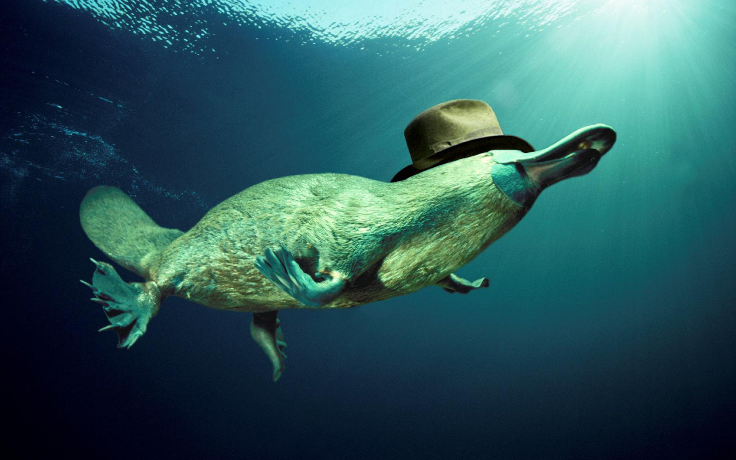 Best Platypus wallpaper ID:274585 for High Resolution hd 2560x1600 computer