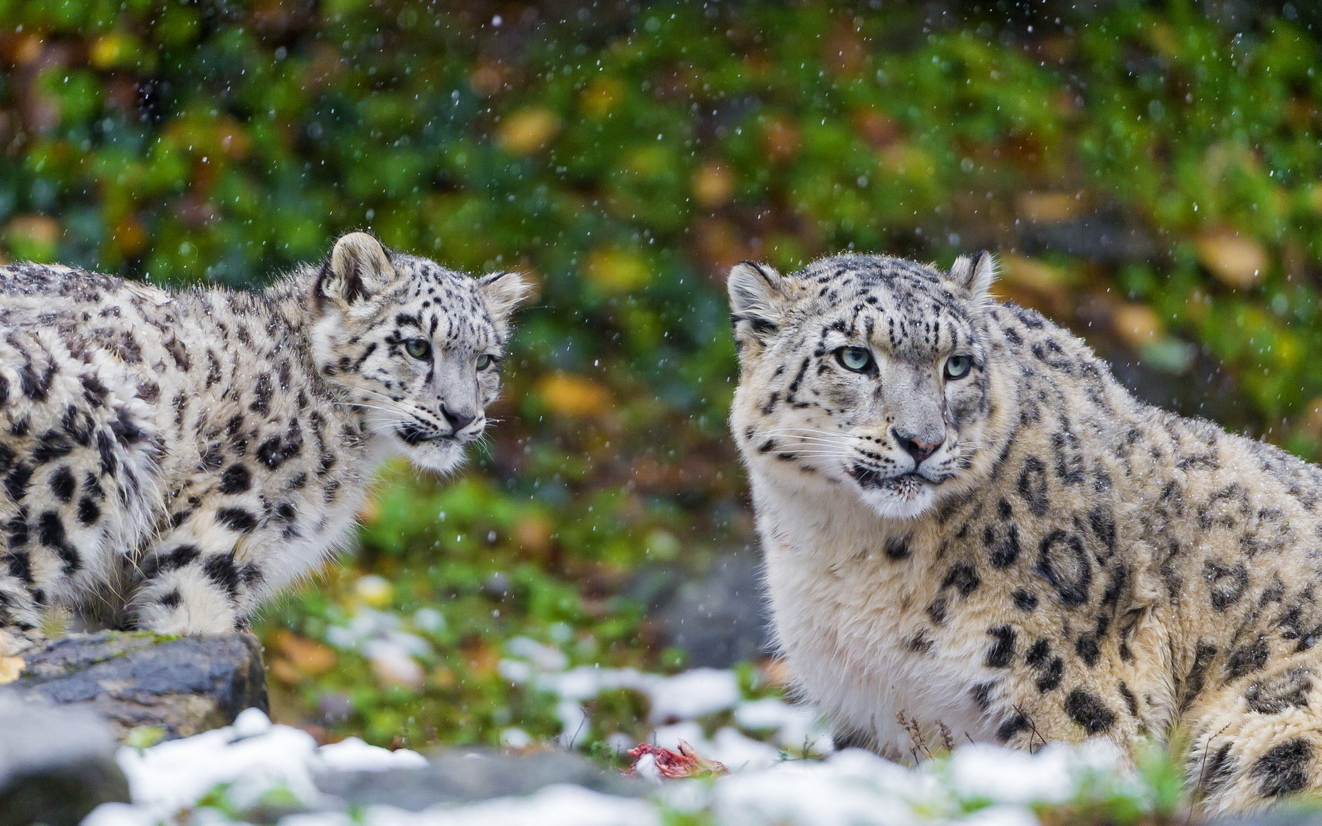 Awesome Snow Leopard free wallpaper ID:34317 for hd 1920x1200 computer