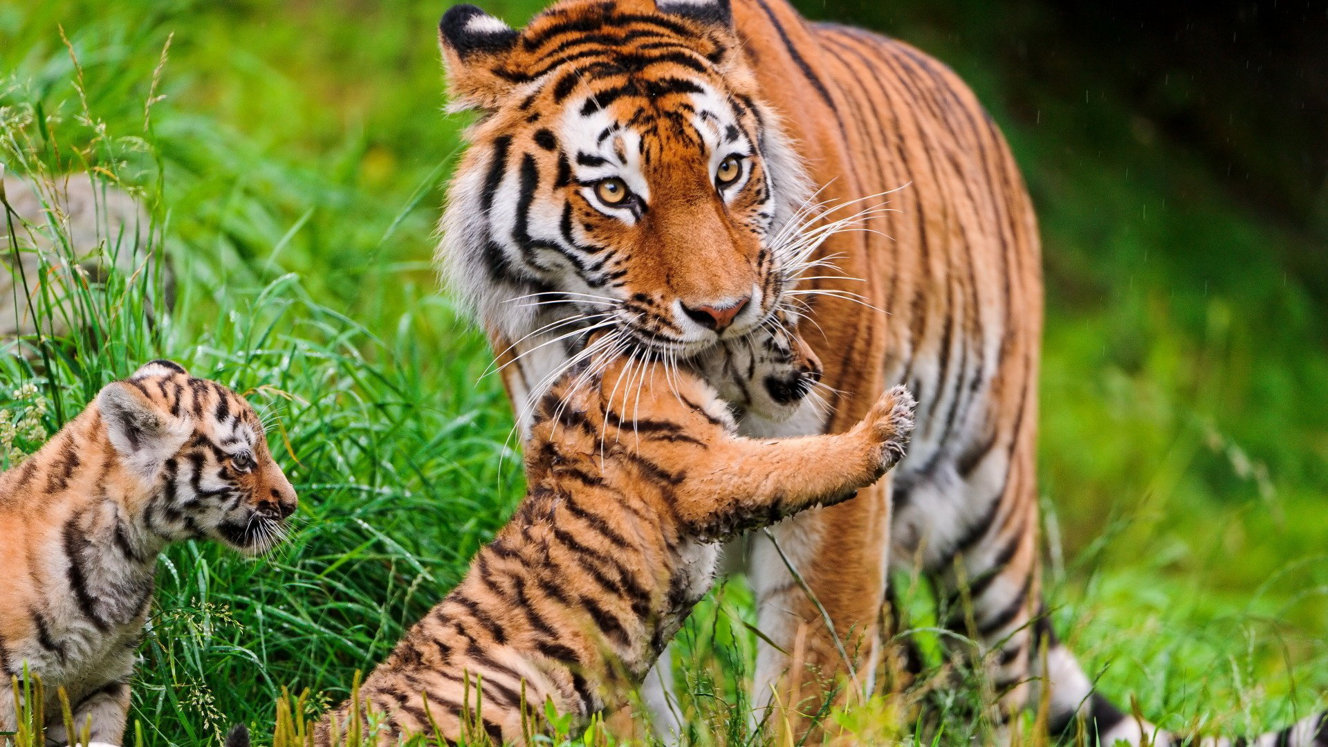 Download Hd 1920x1080 Tiger Desktop Background Id 115677 For Free