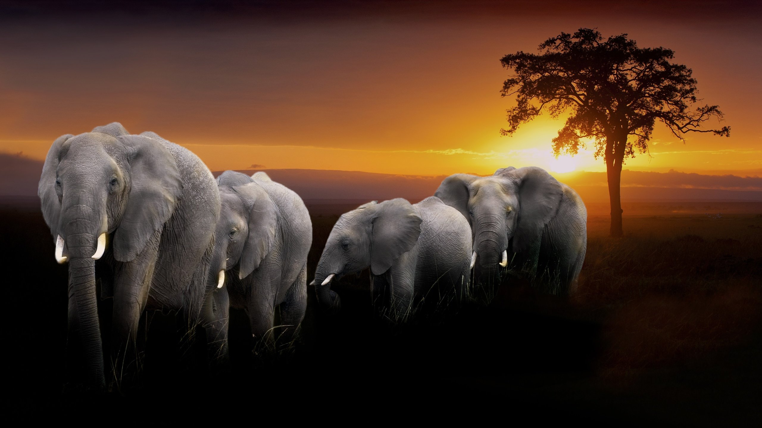 High resolution Elephant hd 2560x1440 background ID:132856 for PC
