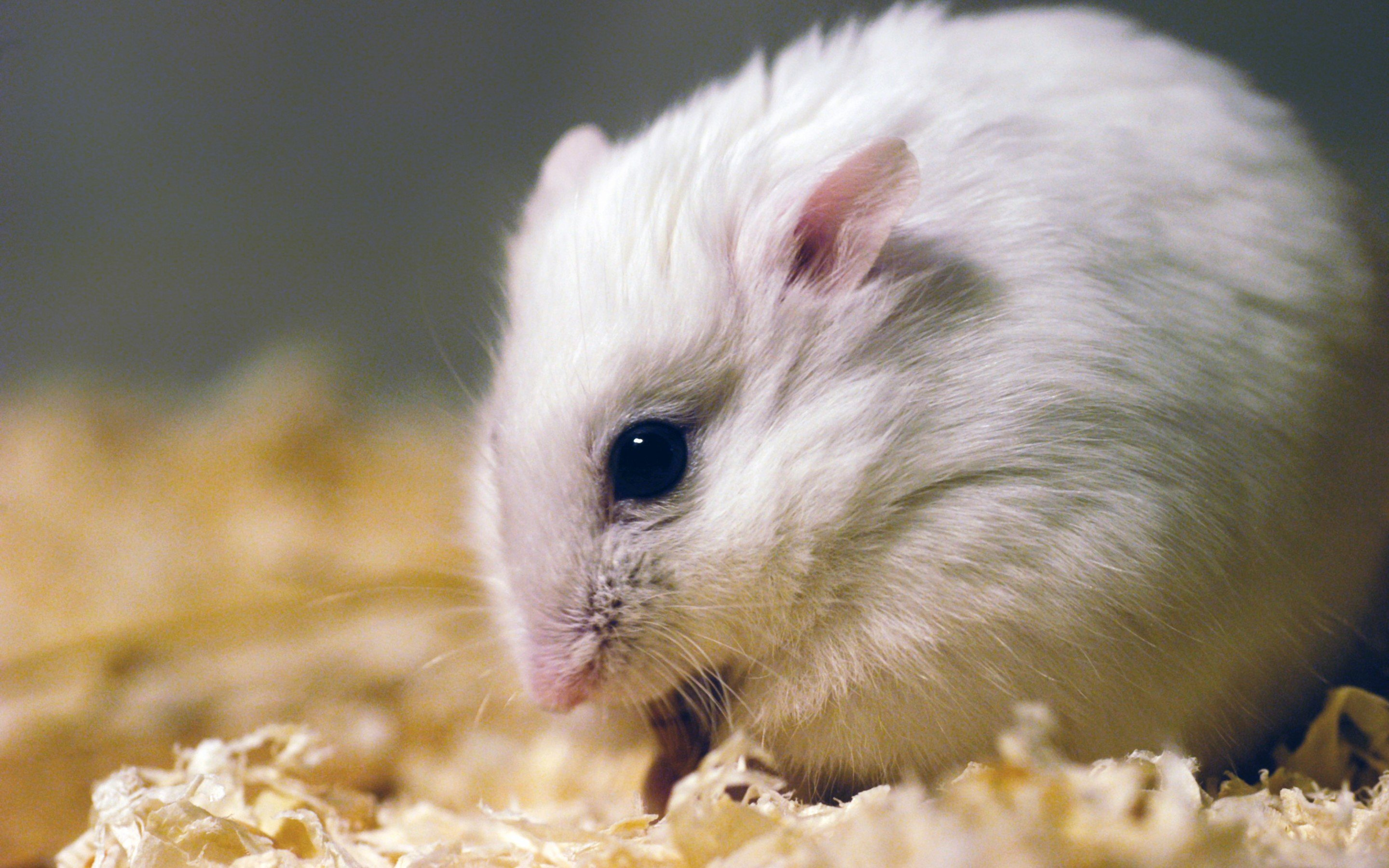 Best Hamster wallpaper ID:234045 for High Resolution hd 2880x1800 desktop
