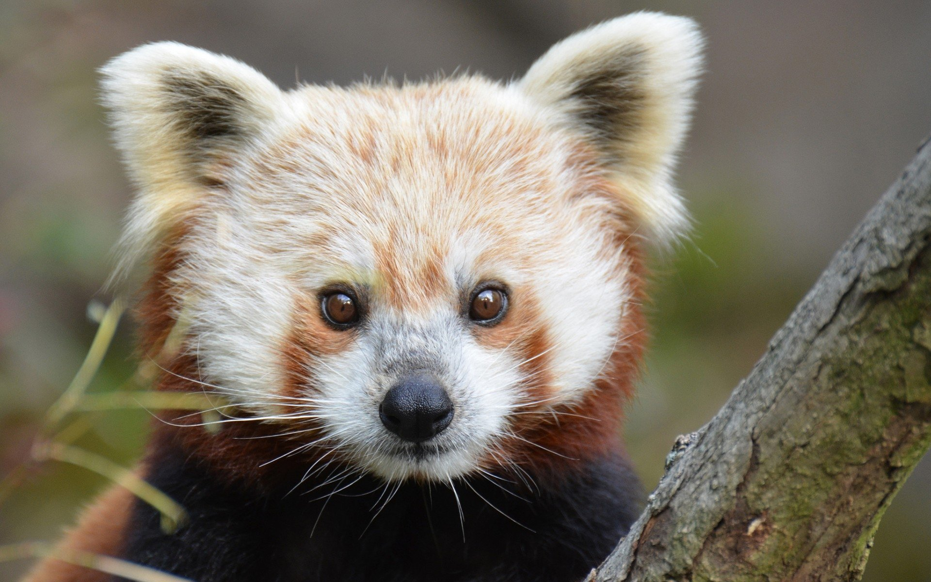 Awesome Red Panda free wallpaper ID:64016 for hd 1920x1200 computer