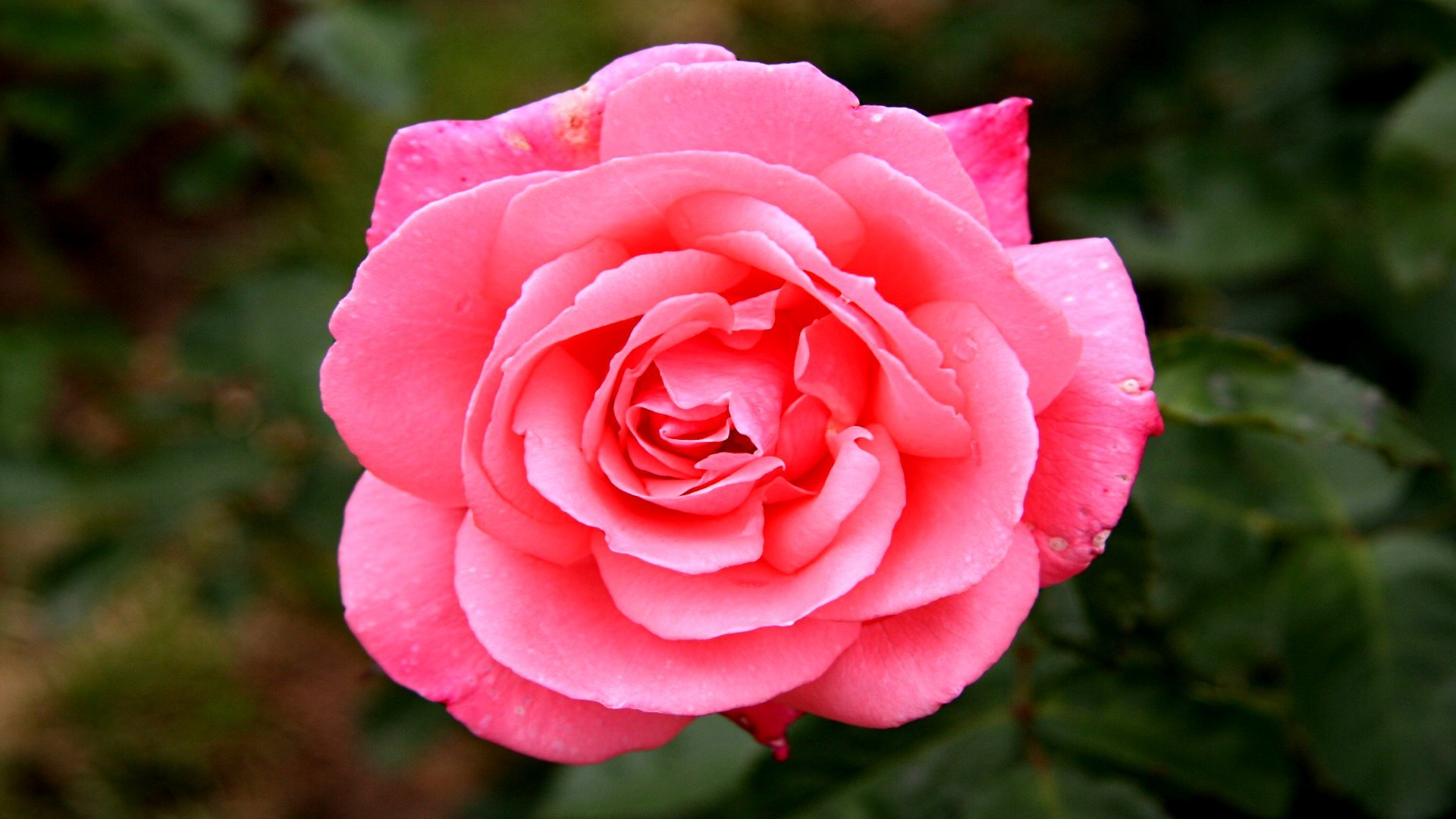 Free Download Rose Wallpaper Id472451 Full Hd 1080p For Computer