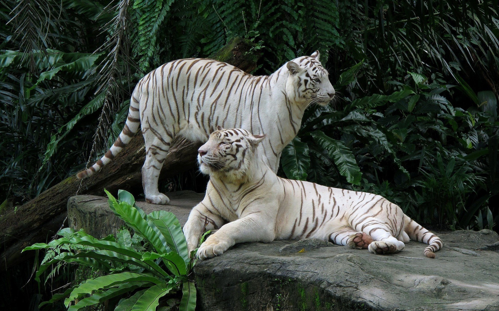 Best White Tiger wallpaper ID:174853 for High Resolution hd 1920x1200 computer