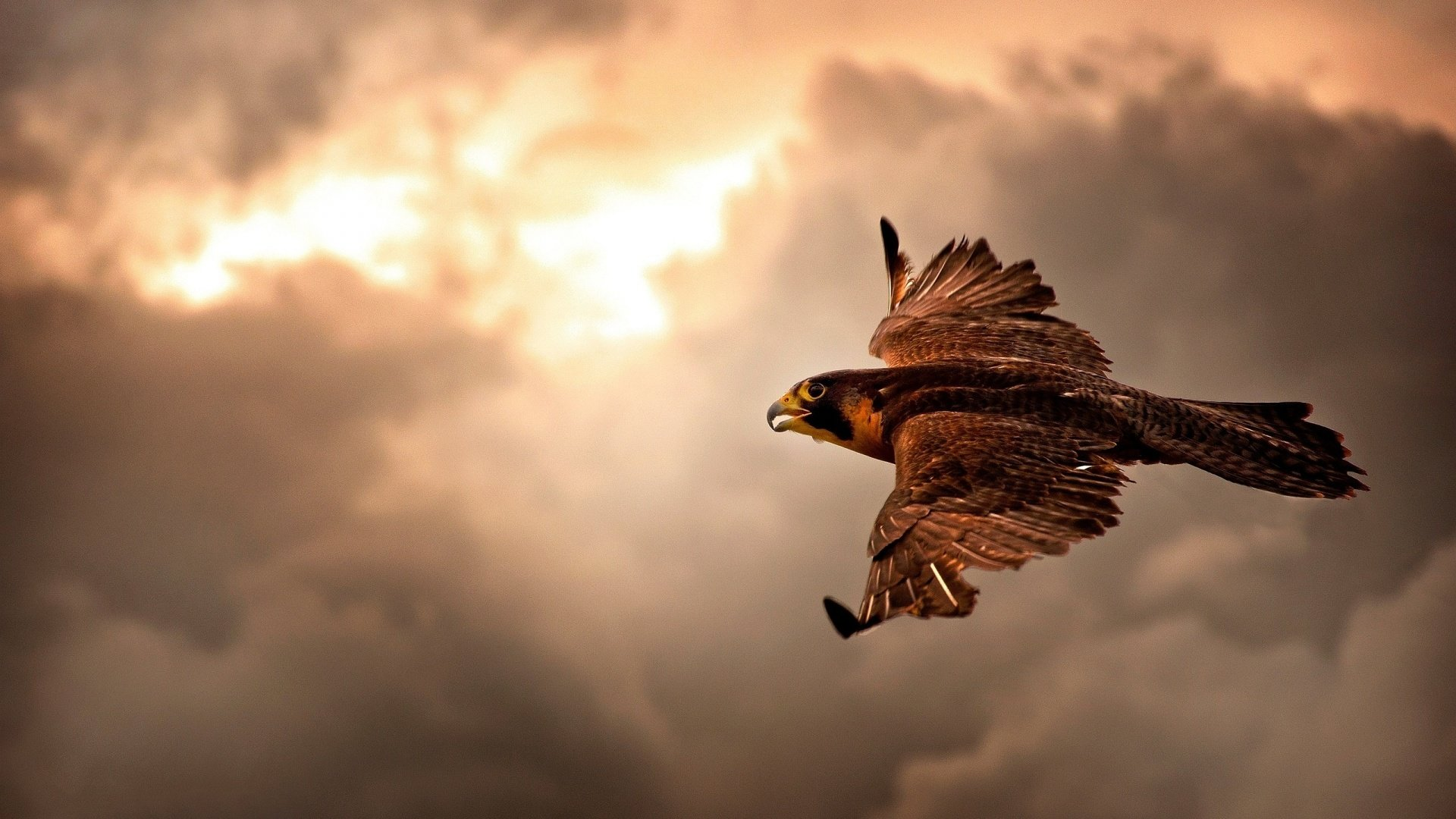 Best Falcon background ID:408499 for High Resolution 1080p PC
