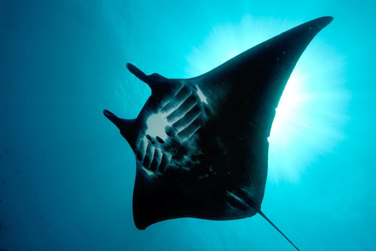 Best Manta Ray background ID:346058 for High Resolution hd 1280x854 desktop