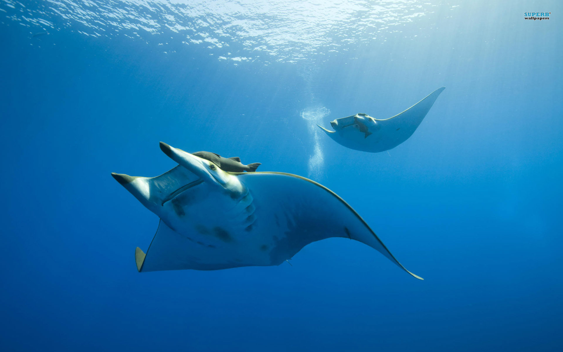 High resolution Manta Ray hd 1920x1200 wallpaper ID:346057 for desktop