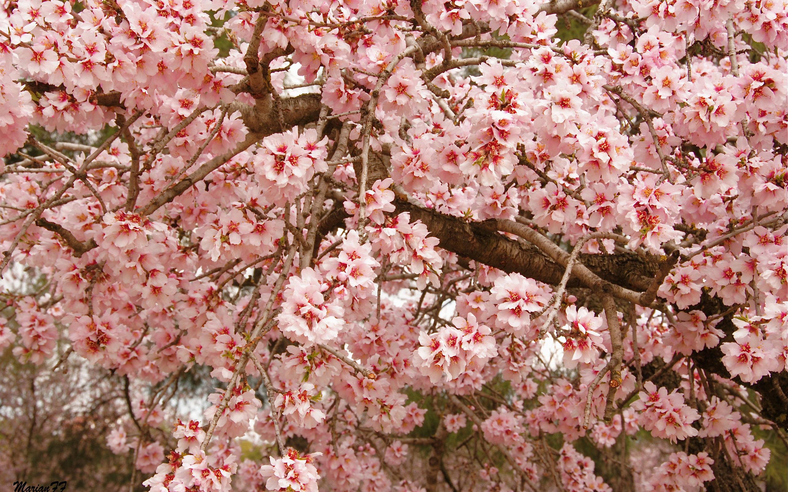 Free Sakura Tree Cherry Blossom High Quality Wallpaper ID250044 For Hd 2560x1600 Computer