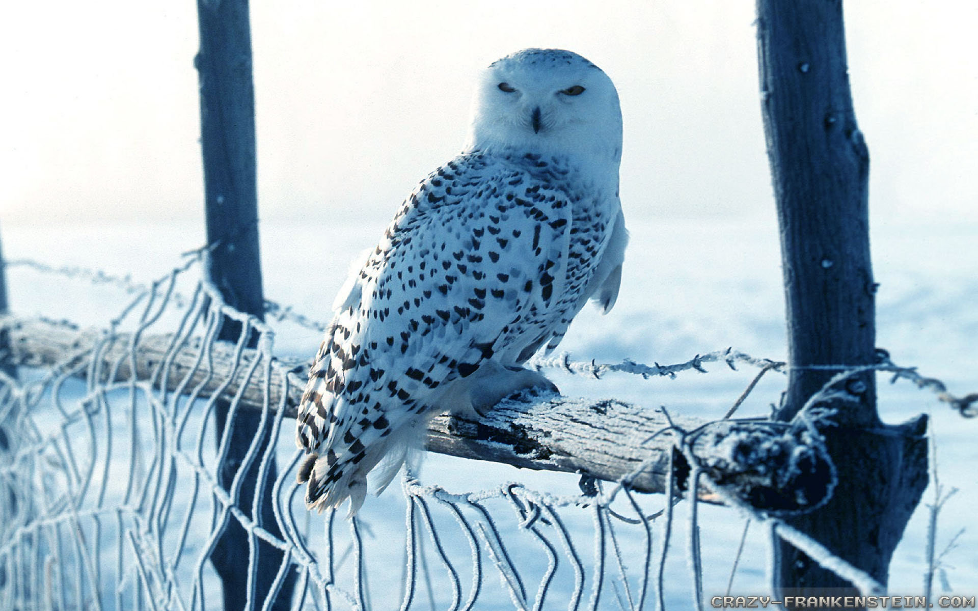 Free Snowy Owl high quality wallpaper ID:26779 for hd 1920x1200 desktop