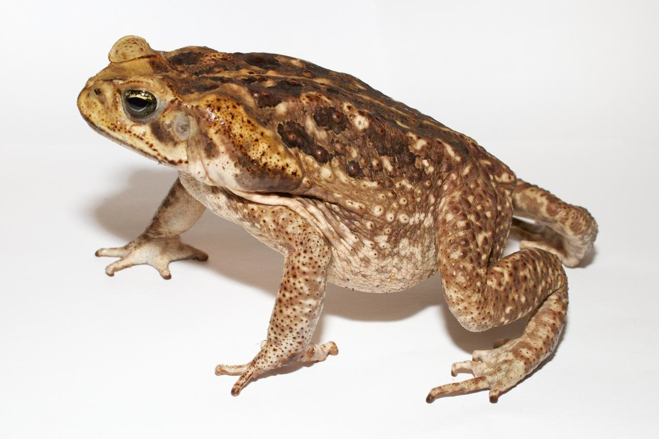 High resolution Toad hd 1280x854 background ID:58487 for PC