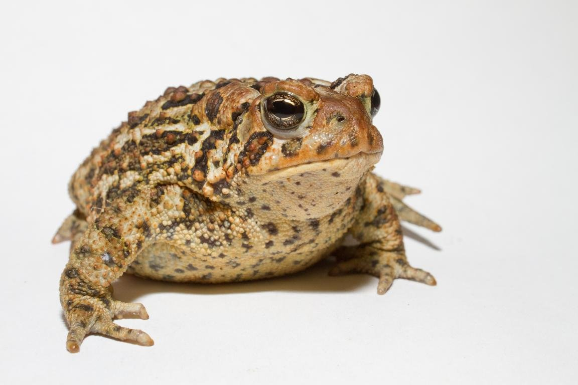 Awesome Toad free wallpaper ID:58507 for hd 1152x768 desktop