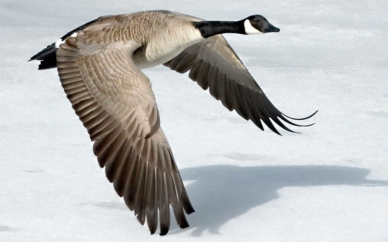 High resolution Goose hd 1280x800 background ID:142380 for PC