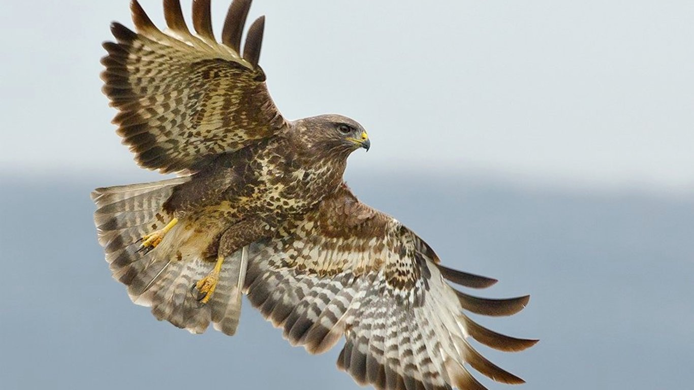 Free Hawk high quality background ID:122552 for hd 1366x768 desktop