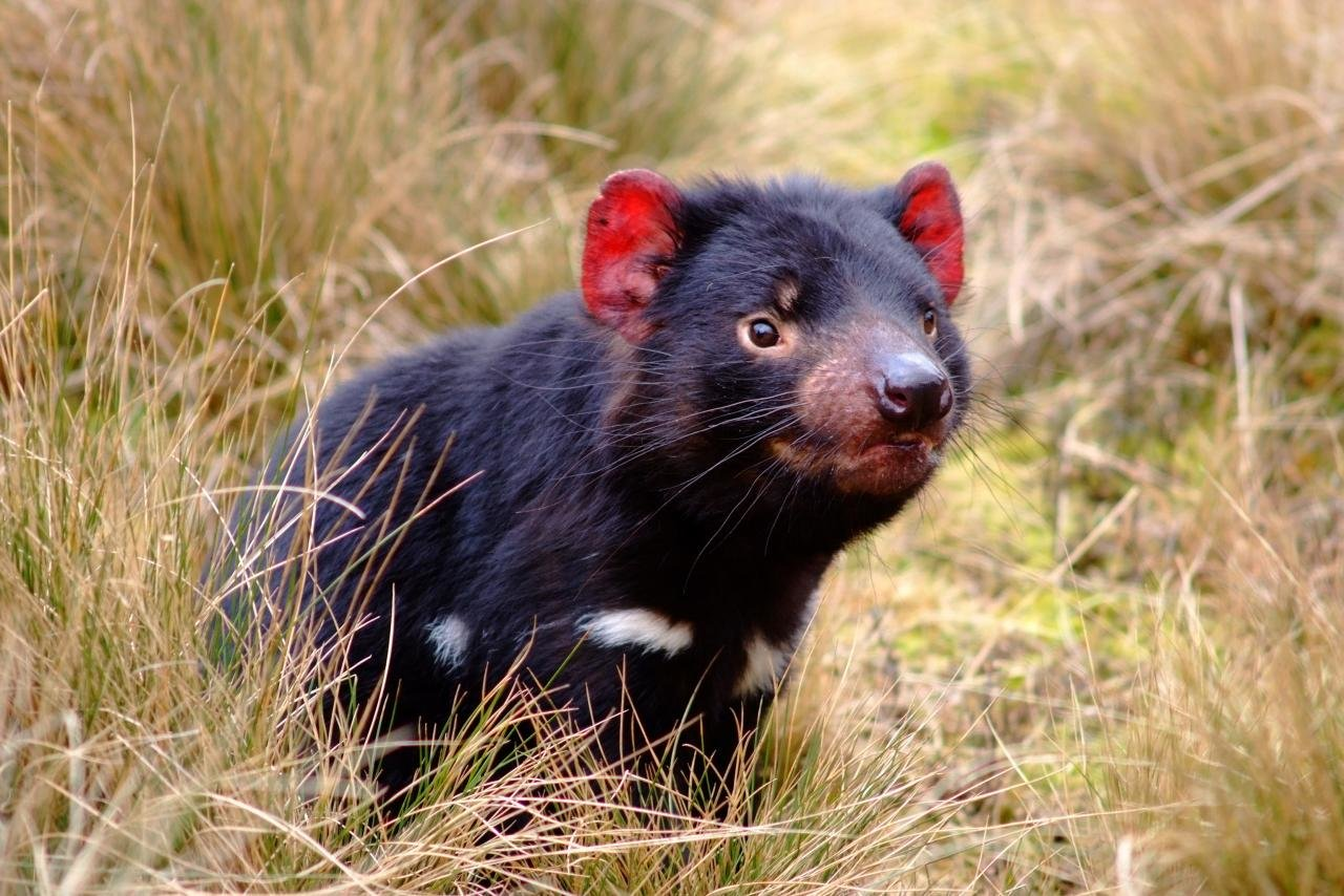Best Tasmanian Devil background ID:242793 for High Resolution hd 1280x854 desktop