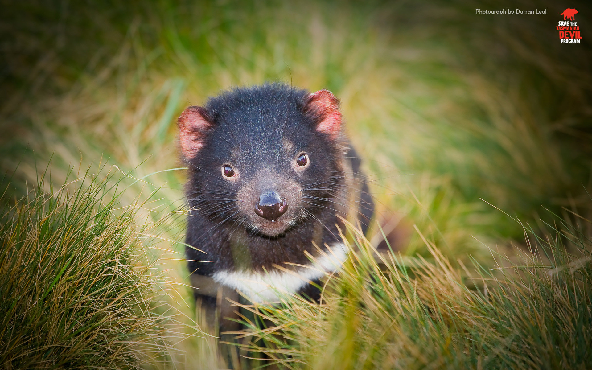 Free Tasmanian Devil high quality background ID:242798 for hd 1920x1200 desktop