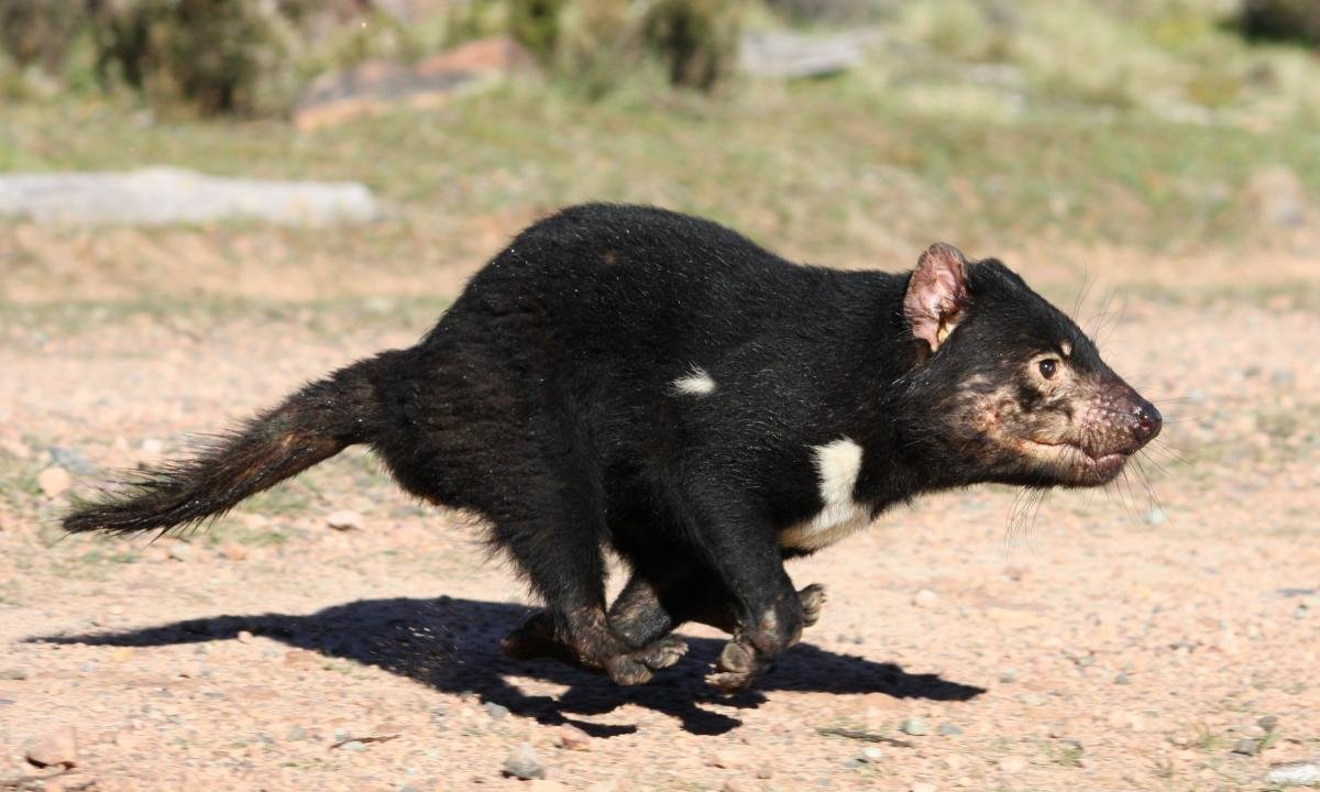 Download hd 1200x720 Tasmanian Devil desktop wallpaper ID:242796 for free