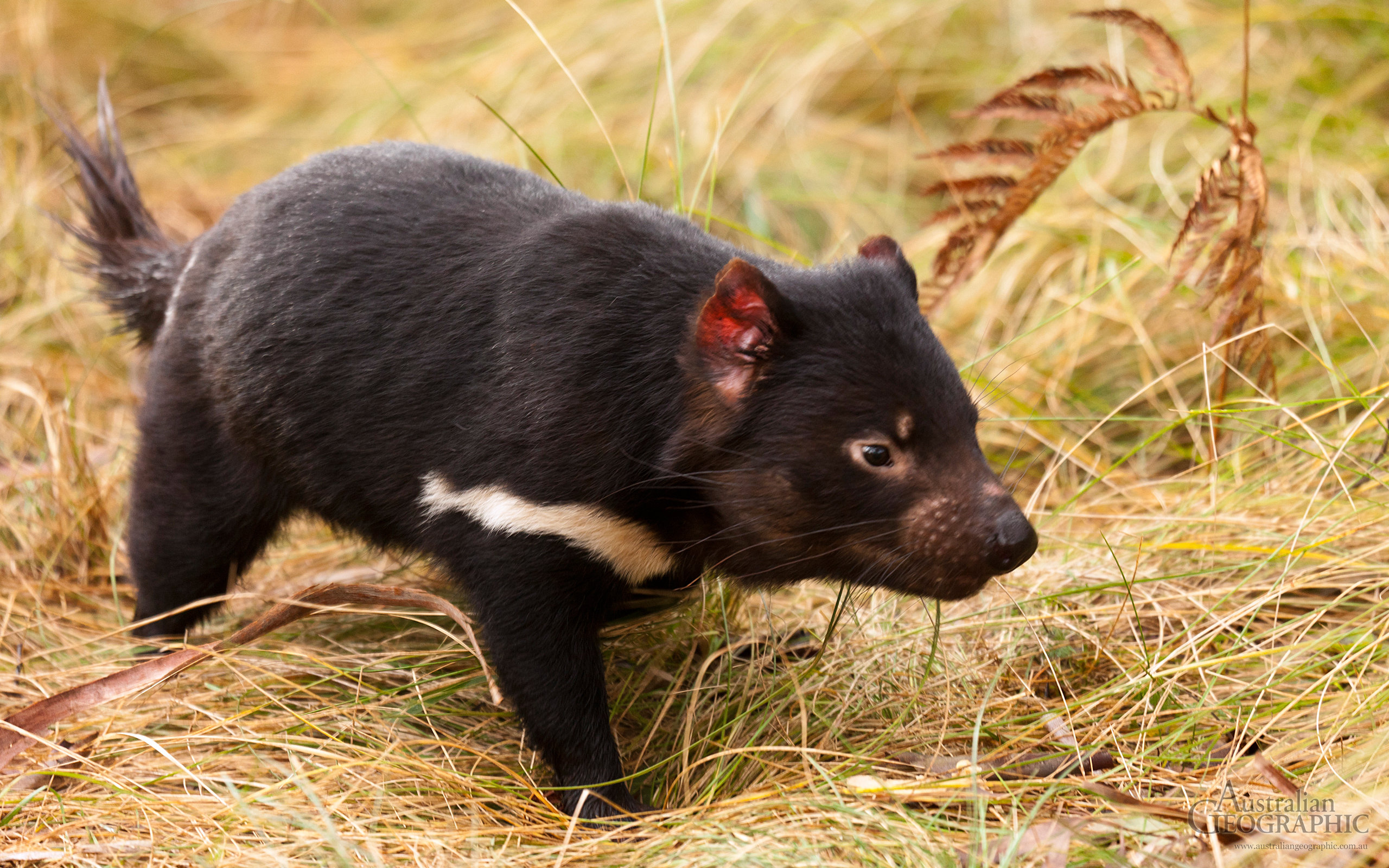 Free download Tasmanian Devil wallpaper ID:242795 hd 2560x1600 for desktop