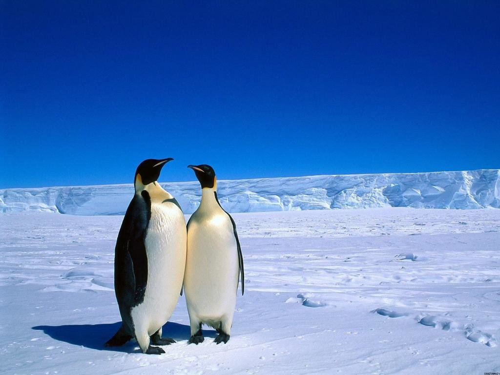 Best Emperor Penguin background ID:47913 for High Resolution hd 1024x768 computer