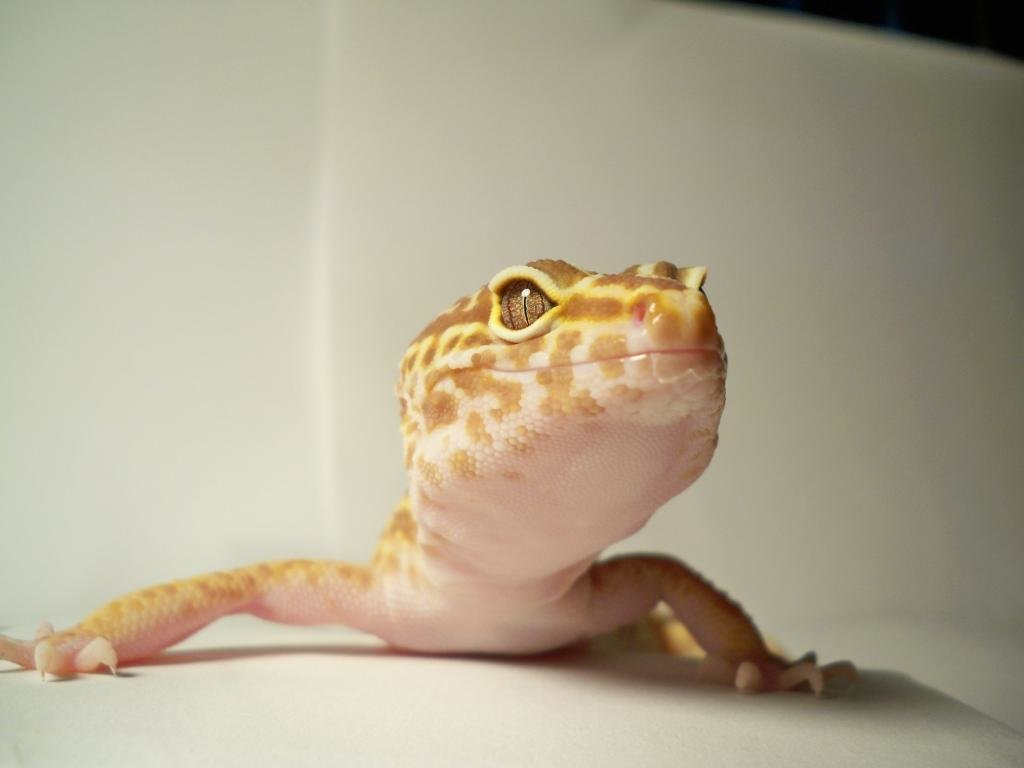 Free Gecko high quality background ID:114539 for hd 1024x768 desktop