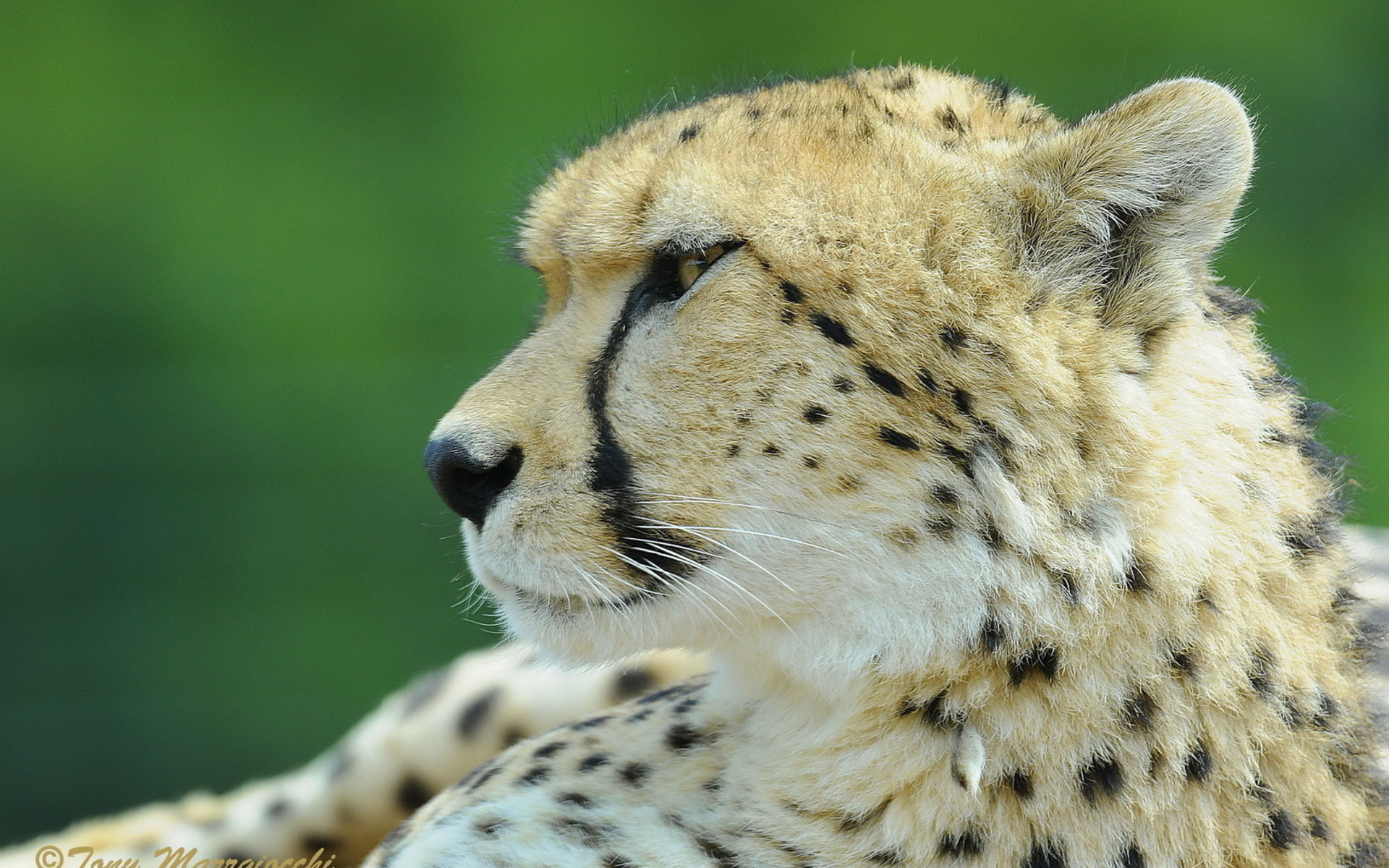 Free Cheetah high quality background ID:161904 for hd 1920x1200 desktop