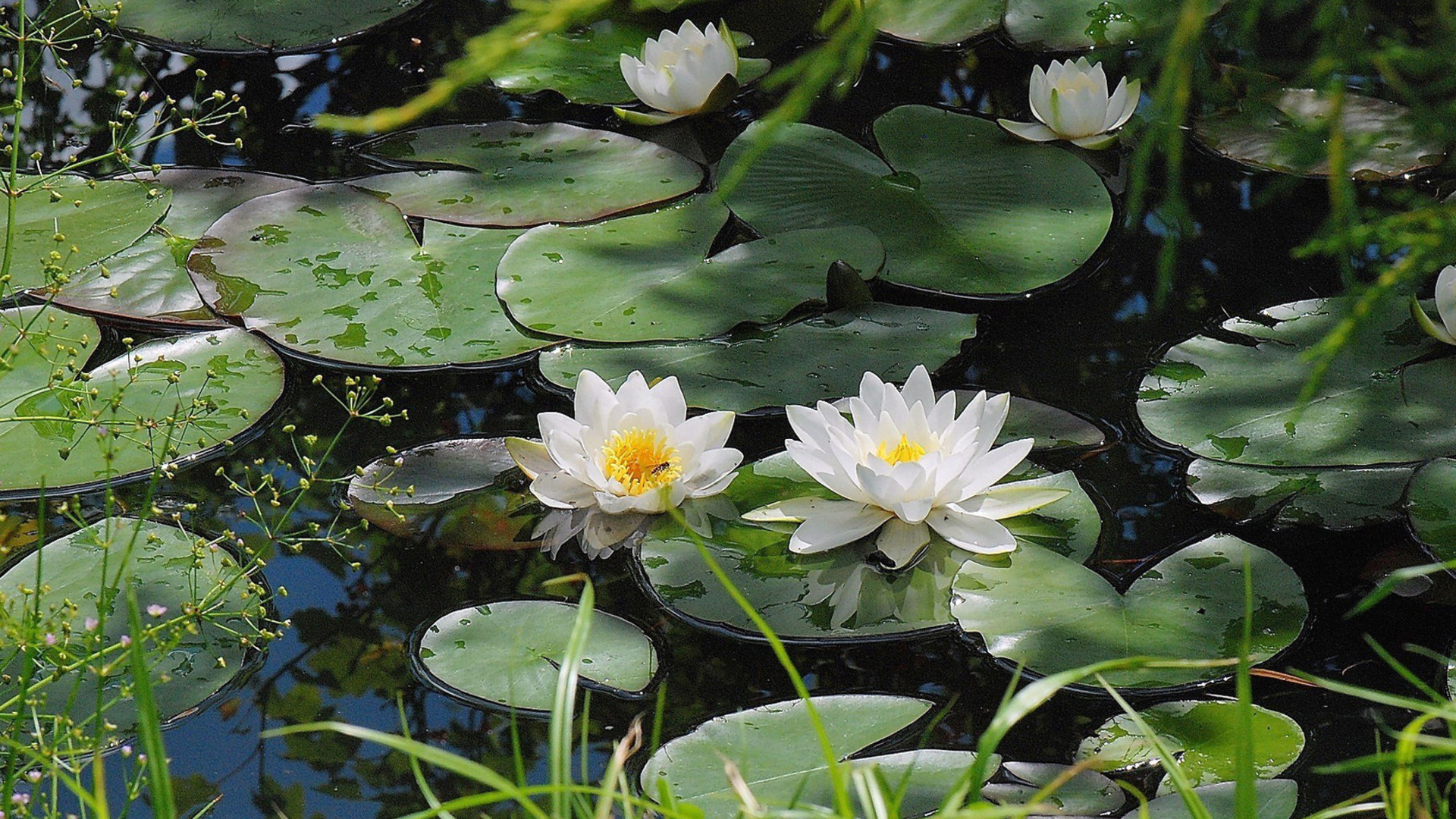 Download full hd 1920x1080 Water Lily PC wallpaper ID:366187 for free
