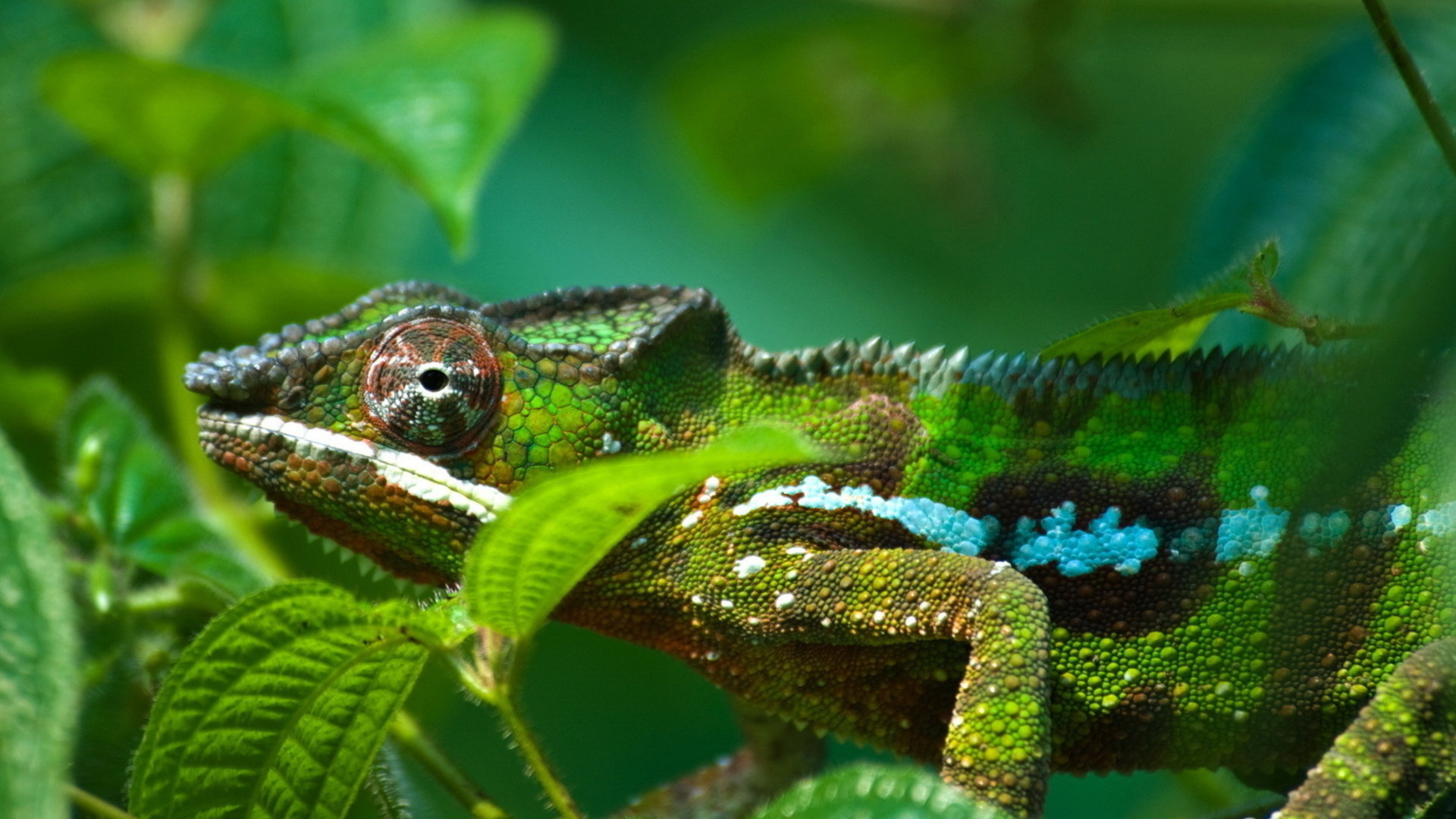 Best Chameleon wallpaper ID:462593 for High Resolution full hd PC