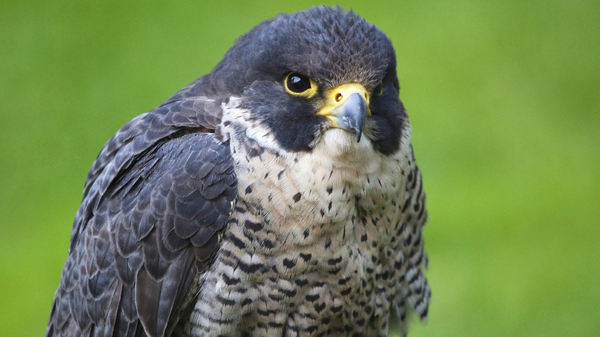 Awesome Falcon free background ID:408447 for 1080p PC