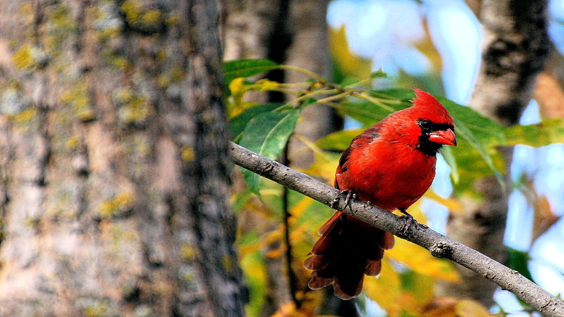 Awesome Cardinal free wallpaper ID:24706 for full hd 1080p PC