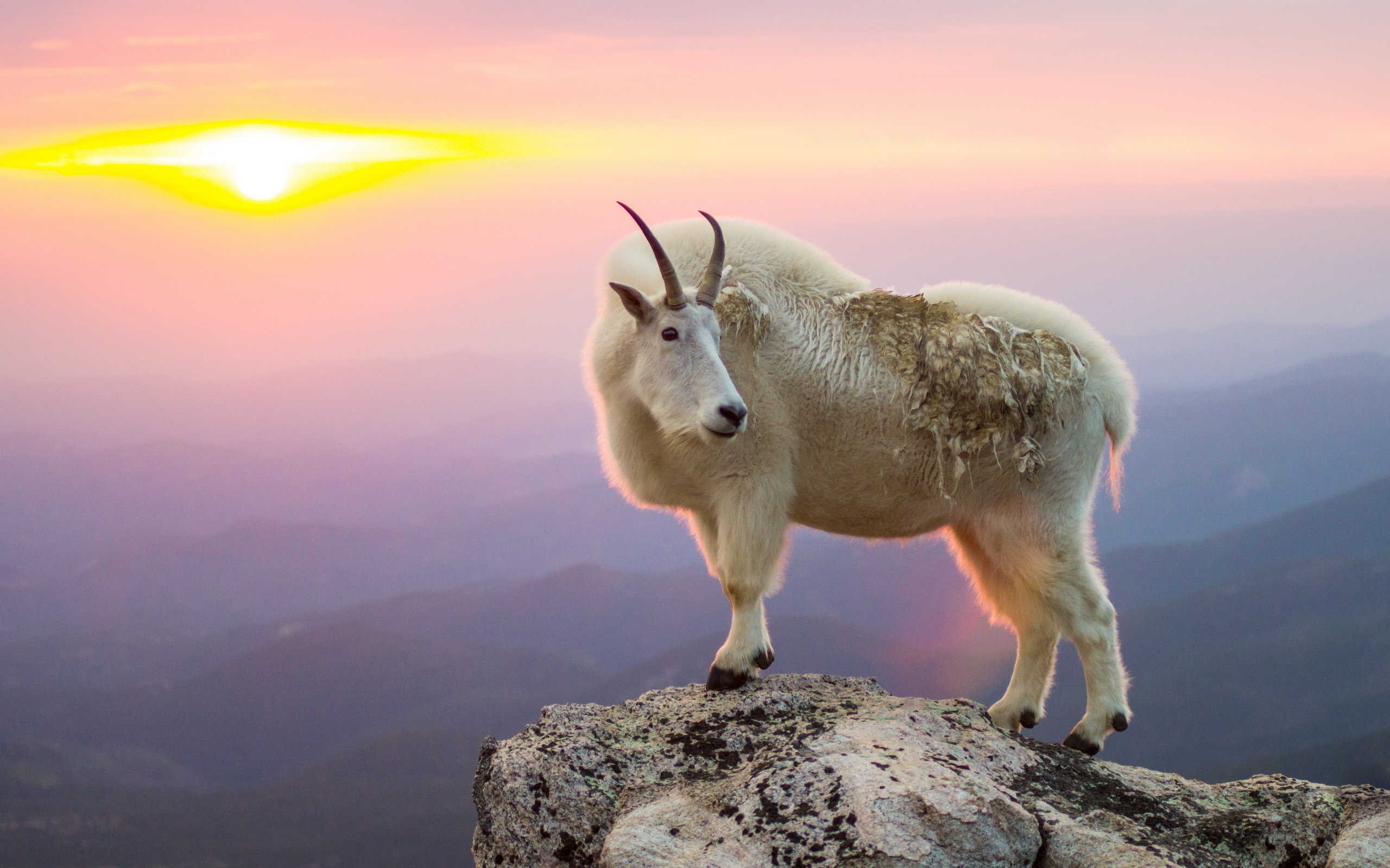 Awesome Goat free background ID:466792 for hd 2560x1600 desktop