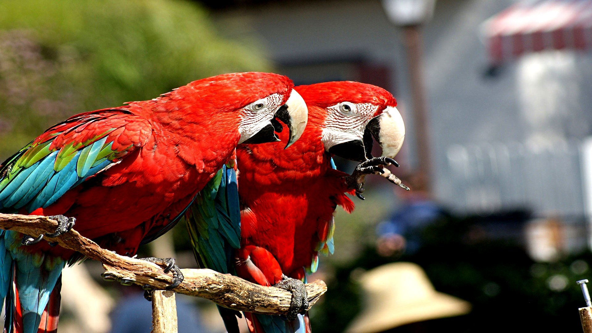 Free download Macaw background ID:46402 full hd 1080p for desktop