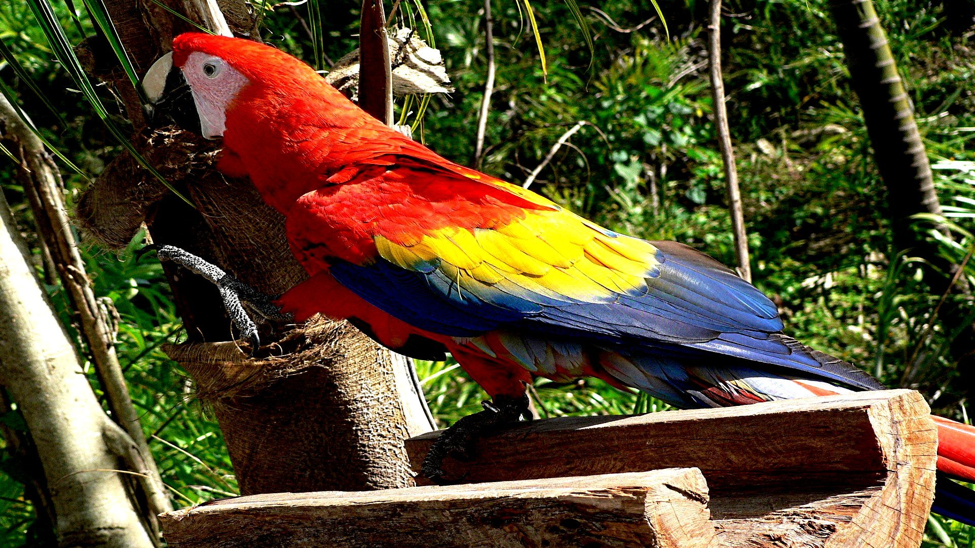 High resolution Macaw hd 1080p wallpaper ID:46398 for PC