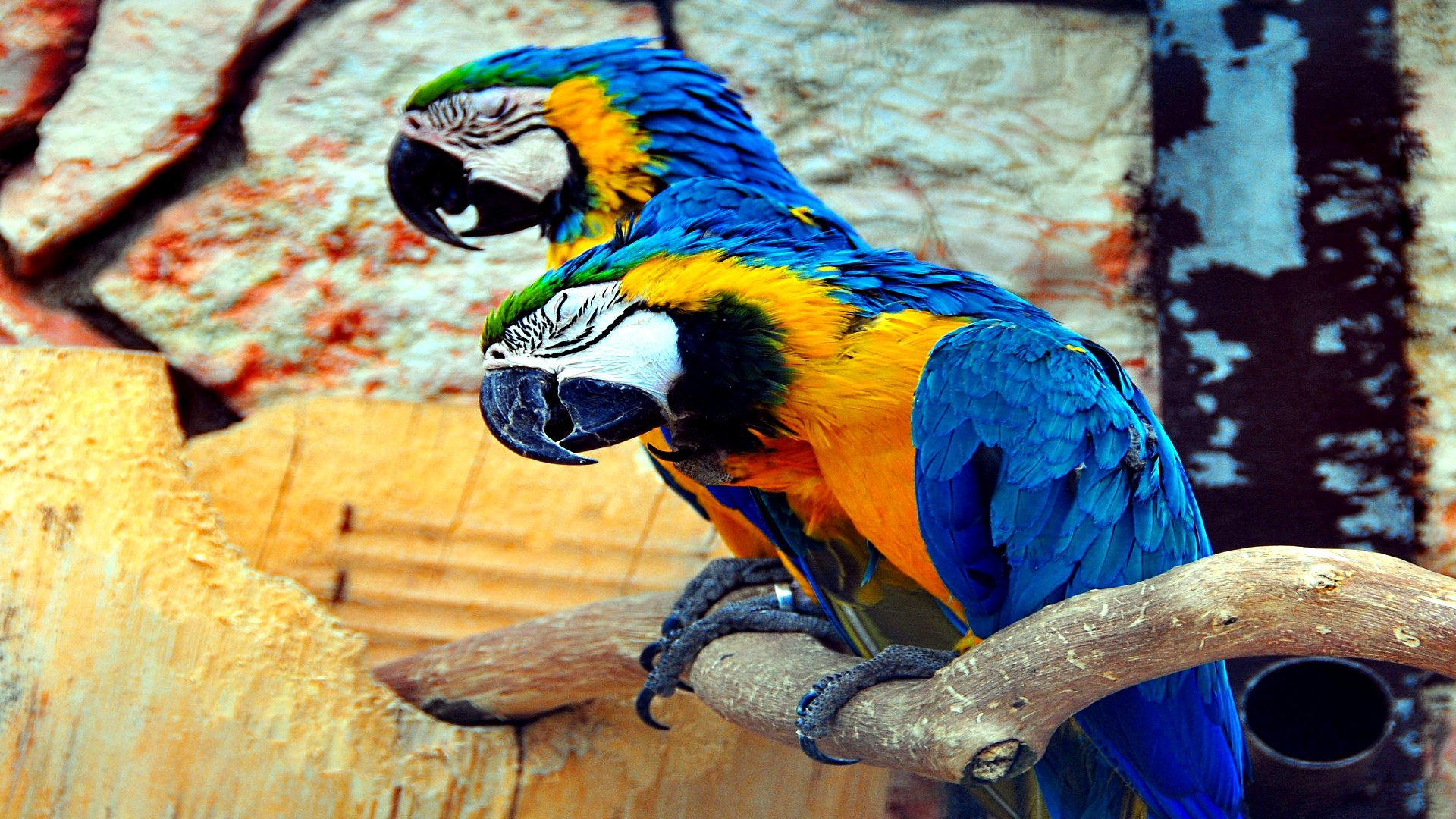 Awesome Macaw free wallpaper ID:46489 for hd 1920x1080 desktop