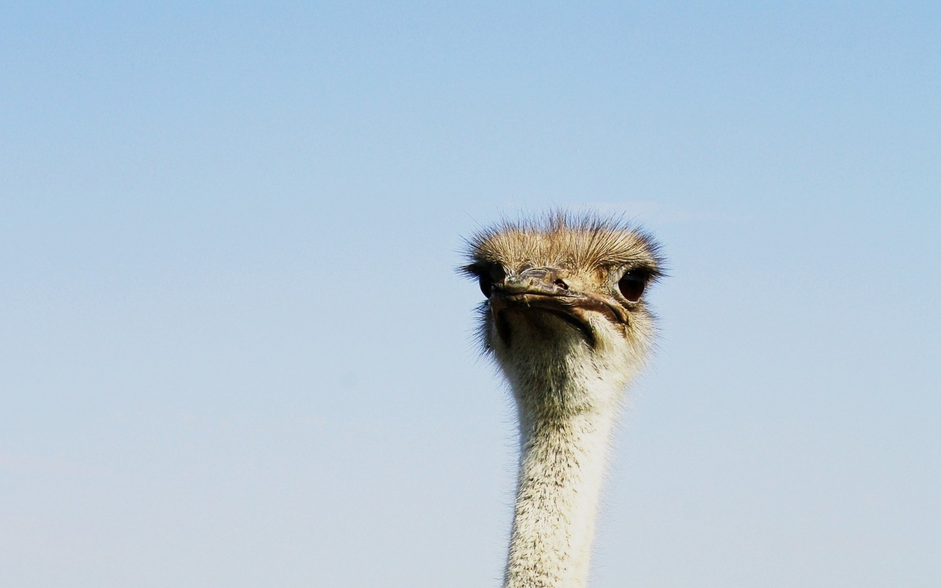 Awesome Ostrich free background ID:290158 for hd 1920x1200 desktop