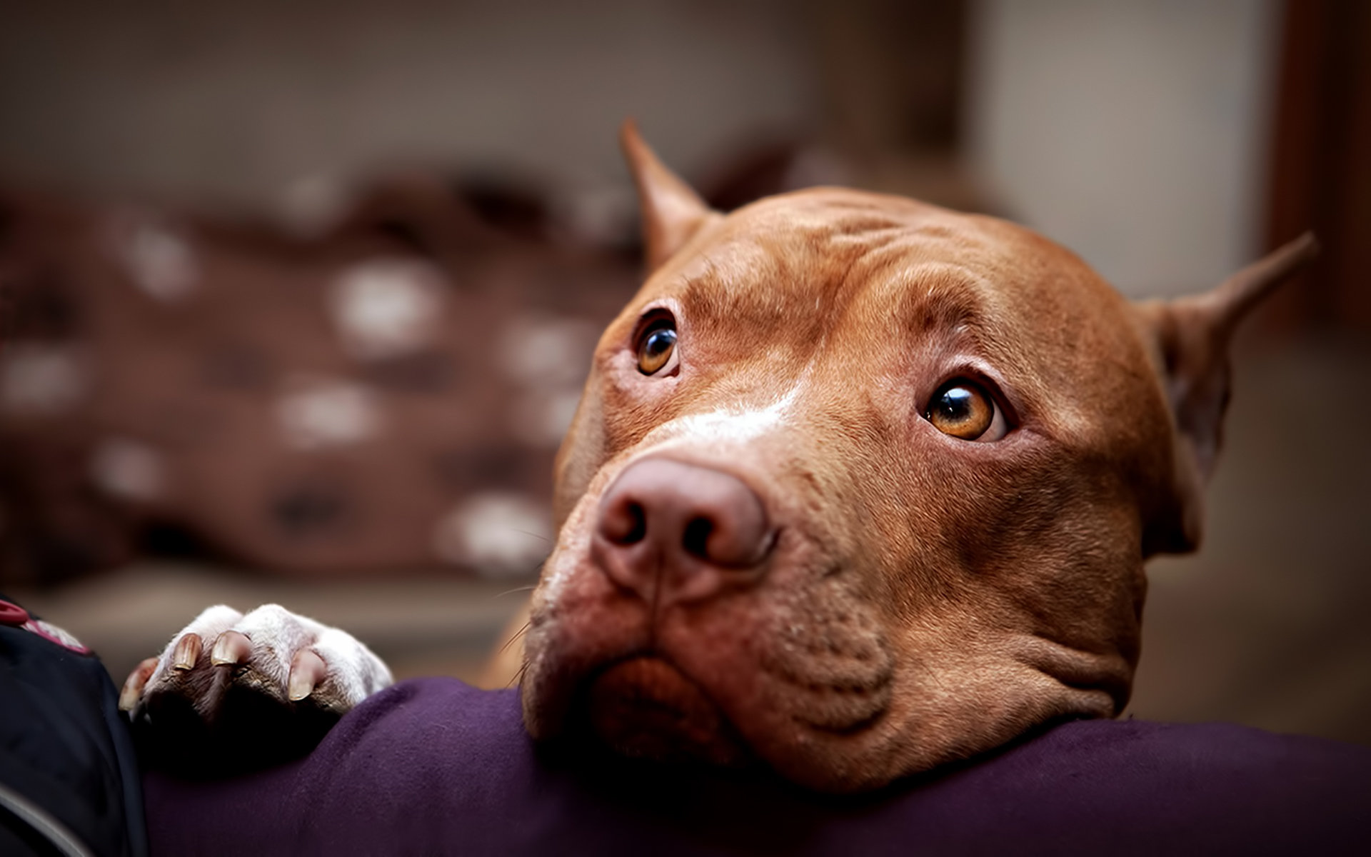 Free Pit Bull high quality background ID:185317 for hd 1920x1200 PC