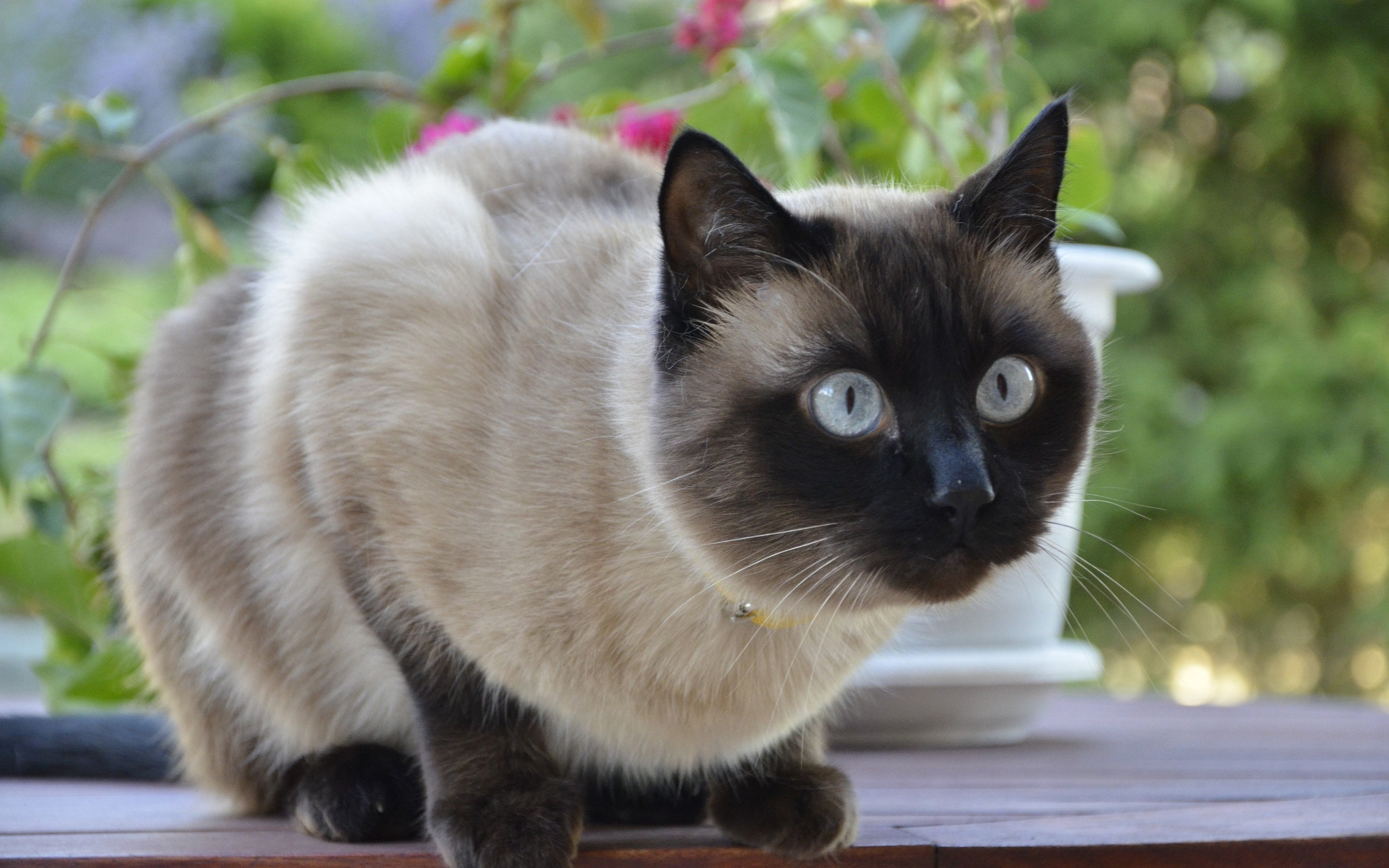 Download hd 2560x1600 Siamese Cat computer wallpaper ID:53380 for free