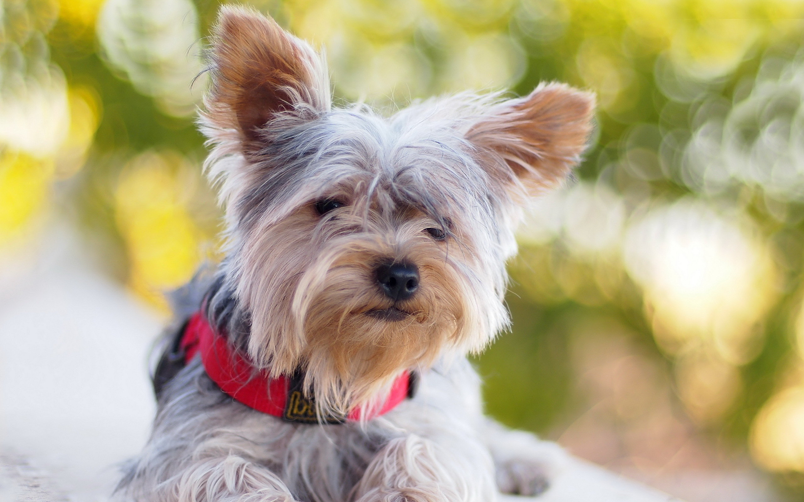 Awesome Yorkshire Terrier free background ID:110987 for hd 2560x1600 PC