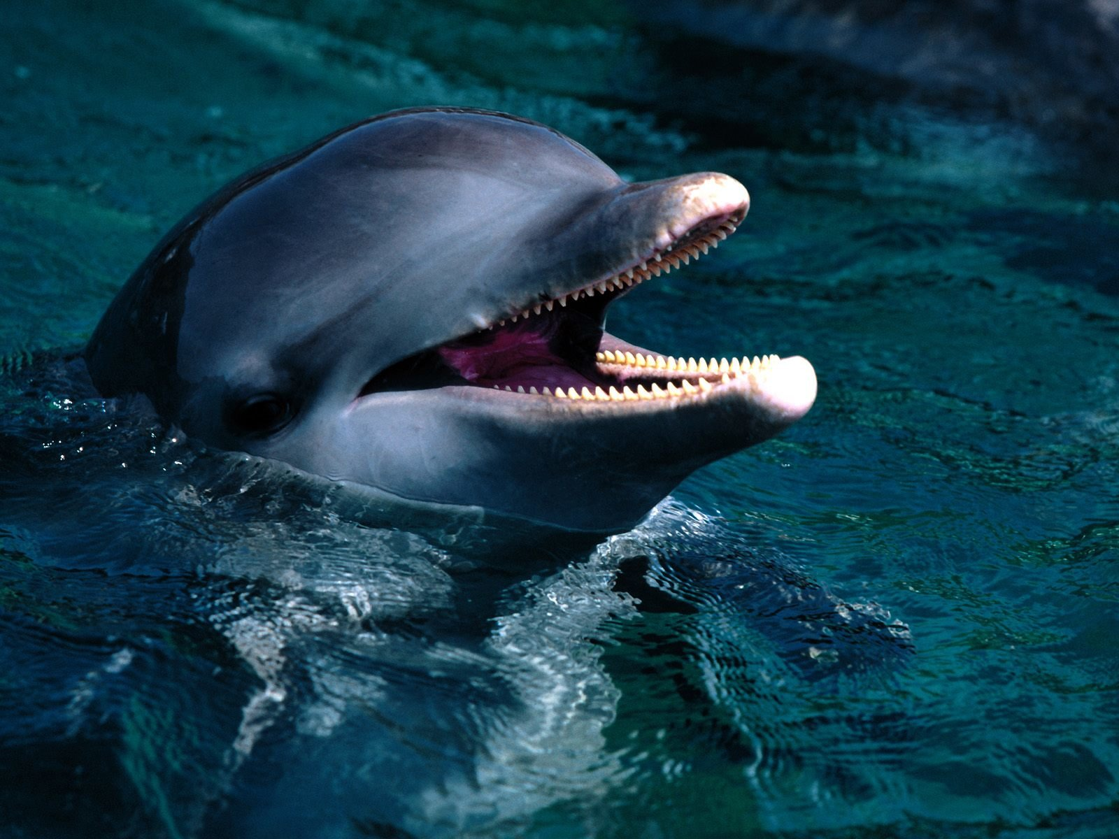 Free download Dolphin background ID:248423 hd 1600x1200 for PC