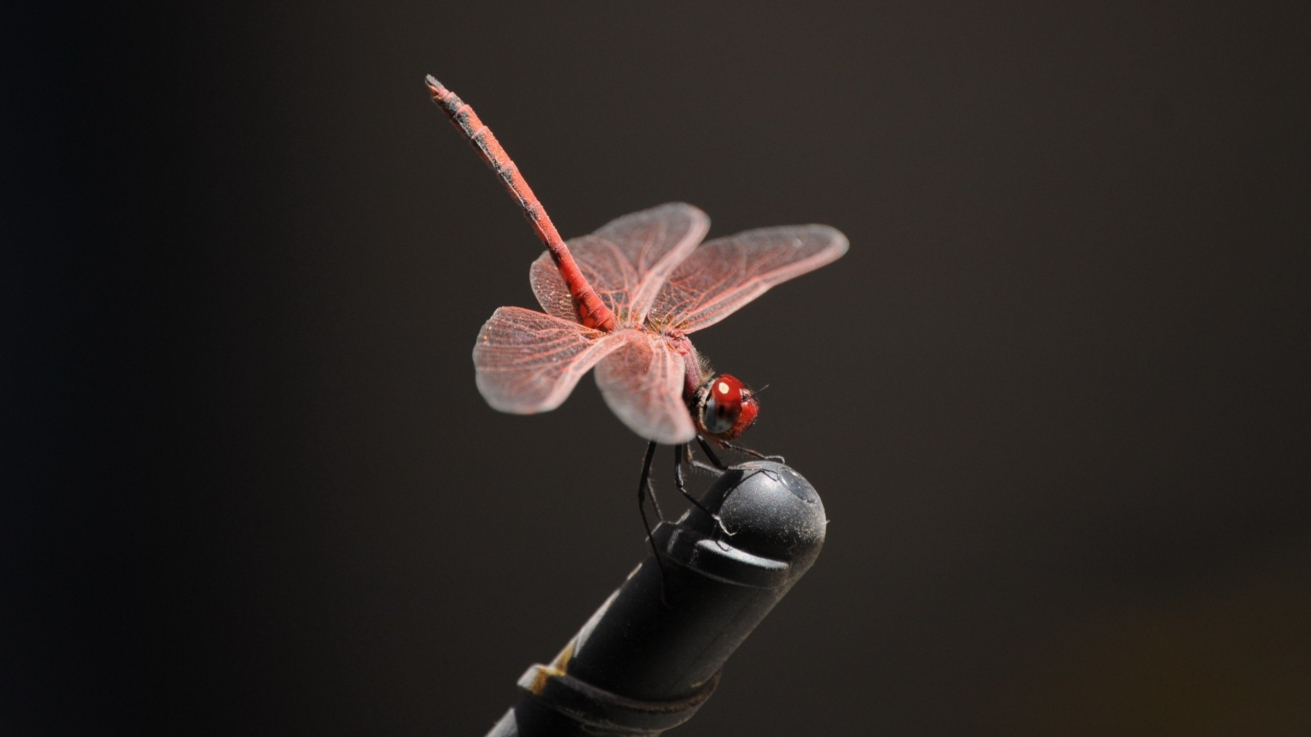 Free Dragonfly high quality background ID:467727 for hd 2560x1440 PC