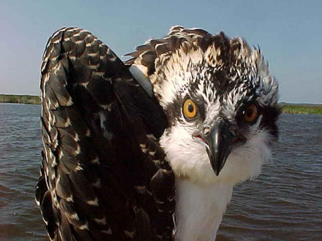Best Osprey background ID:421656 for High Resolution hd 1024x768 computer