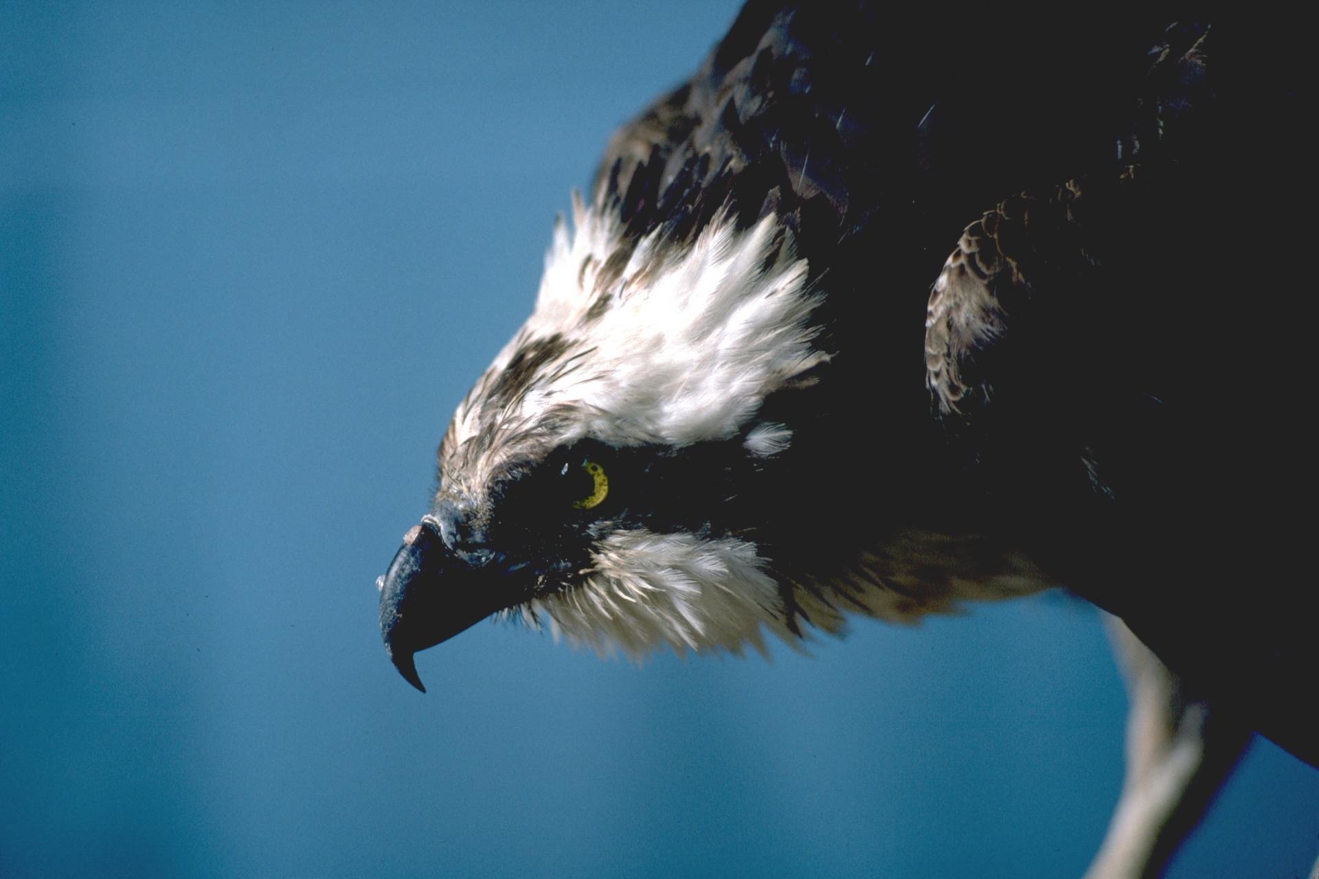 Free download Osprey background ID:421661 hd 1920x1280 for desktop