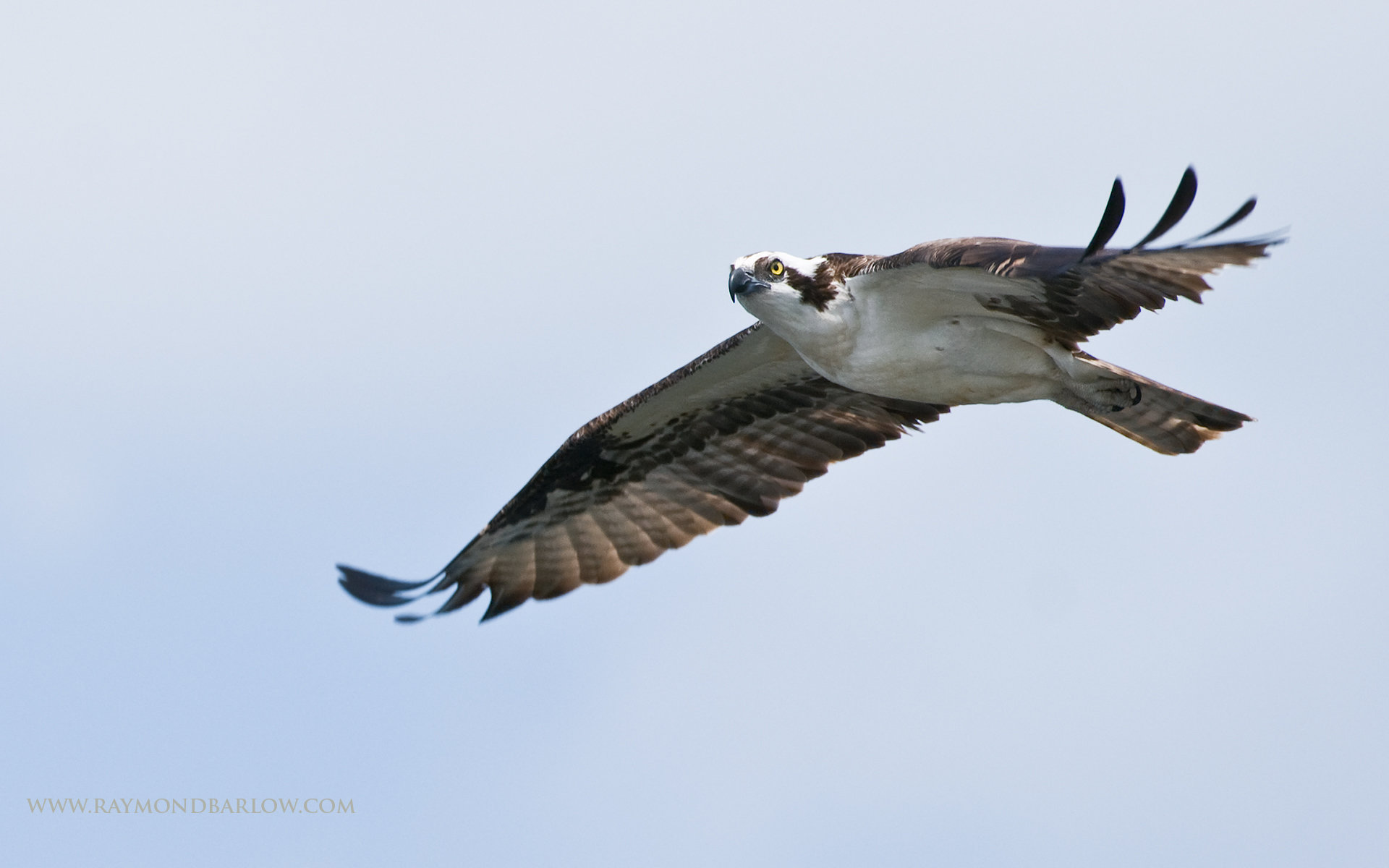 High resolution Osprey hd 1920x1200 wallpaper ID:421657 for PC