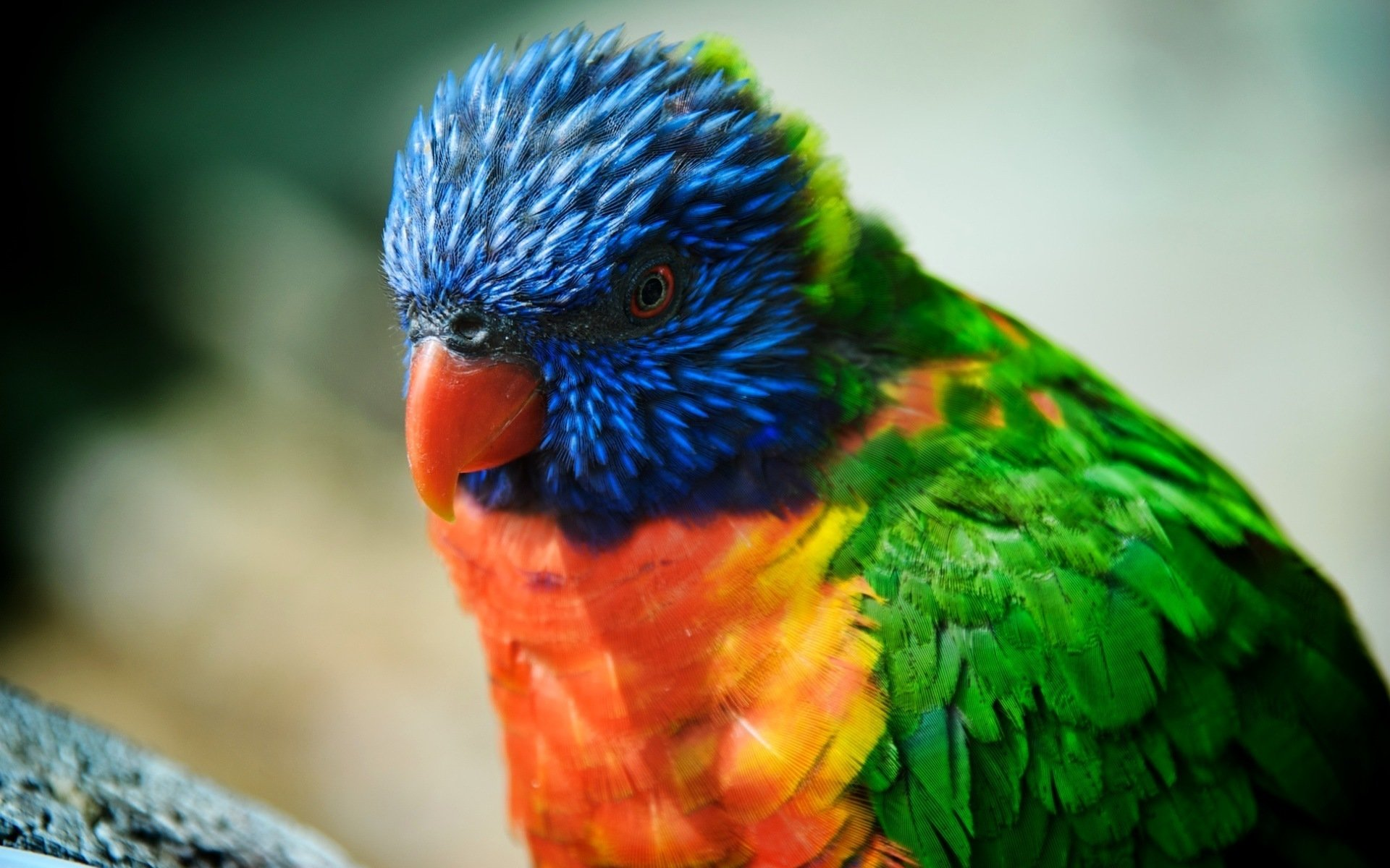 Free Rainbow Lorikeet high quality background ID:10154 for hd 1920x1200 computer