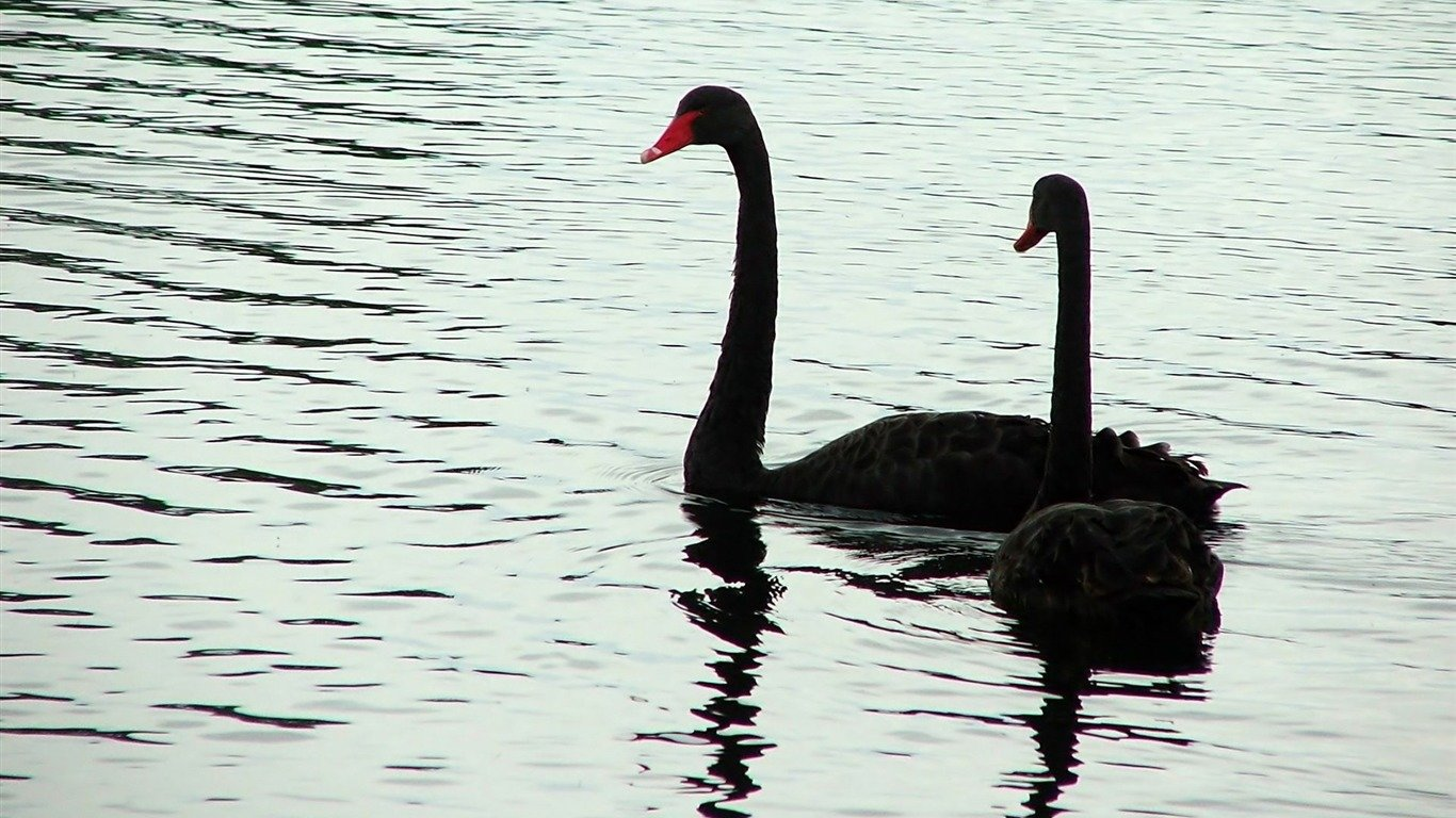 High resolution Black Swan hd 1366x768 background ID:378433 for PC