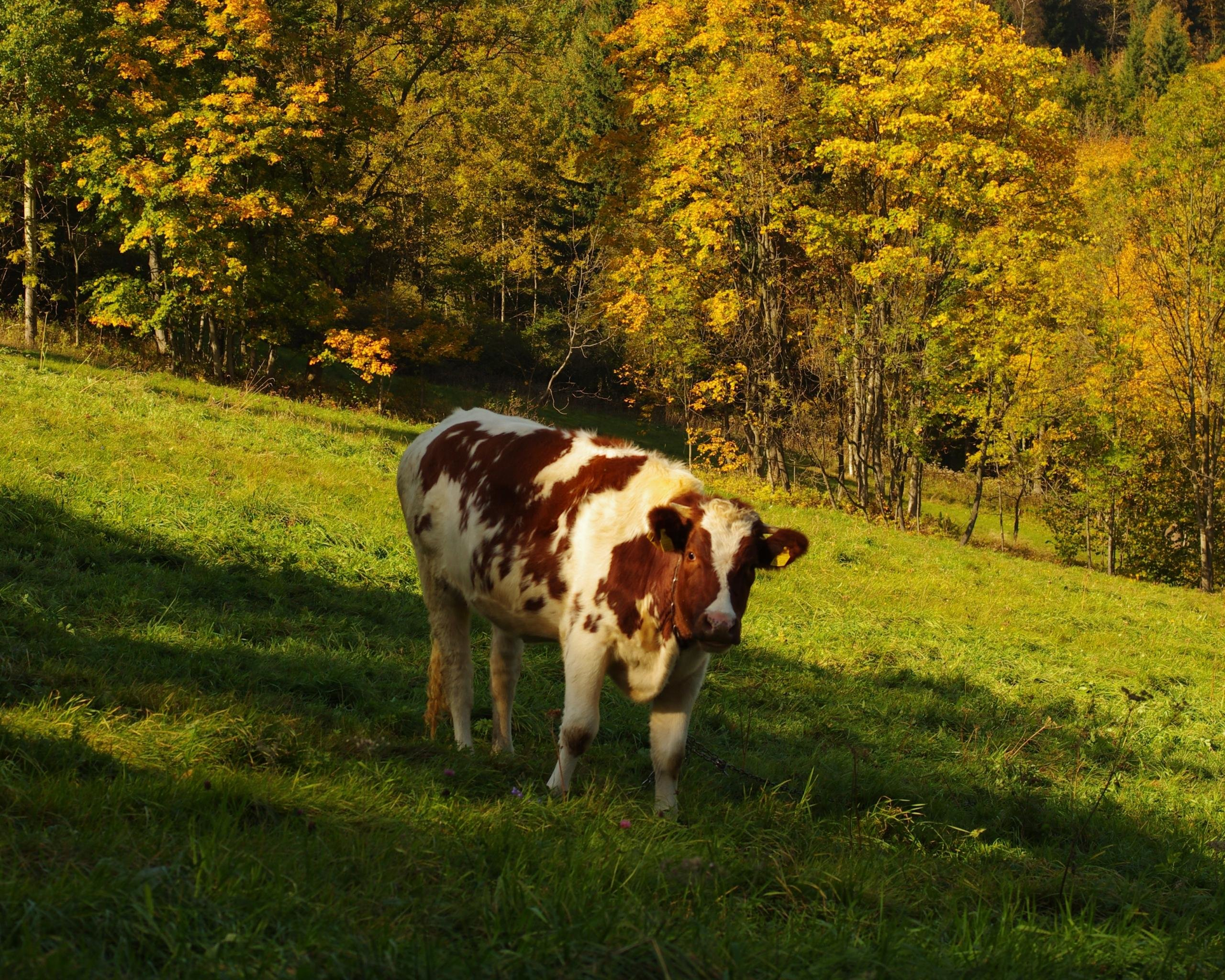Free Cow high quality wallpaper ID:466914 for hd 2560x2048 computer